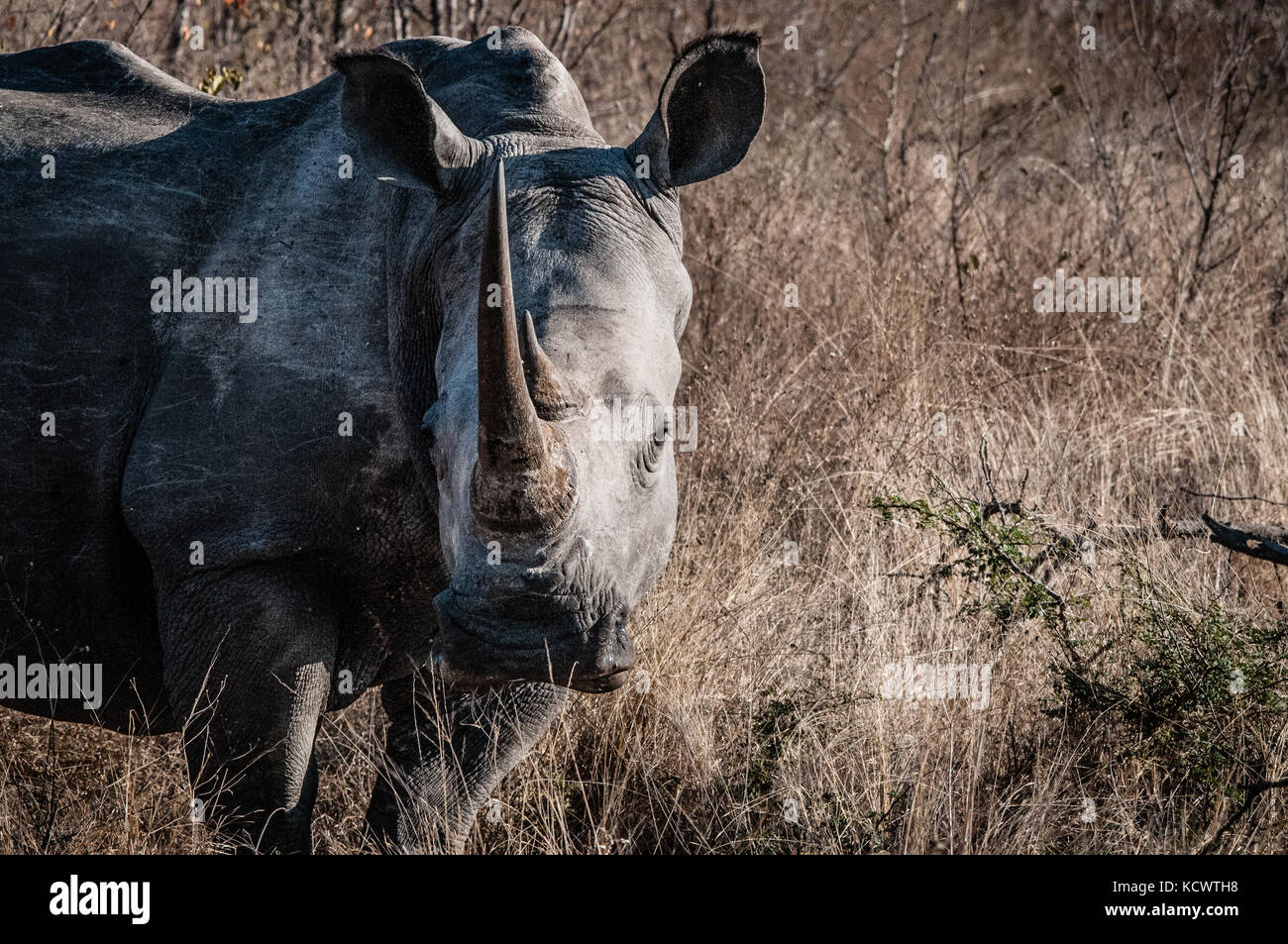 rhino at kruger park - Stock Image