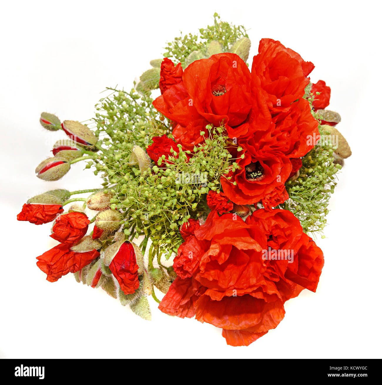 Red wild flowers of Papaver rhoeas bouquet, corn field poppy with buds, close up. - Stock Image
