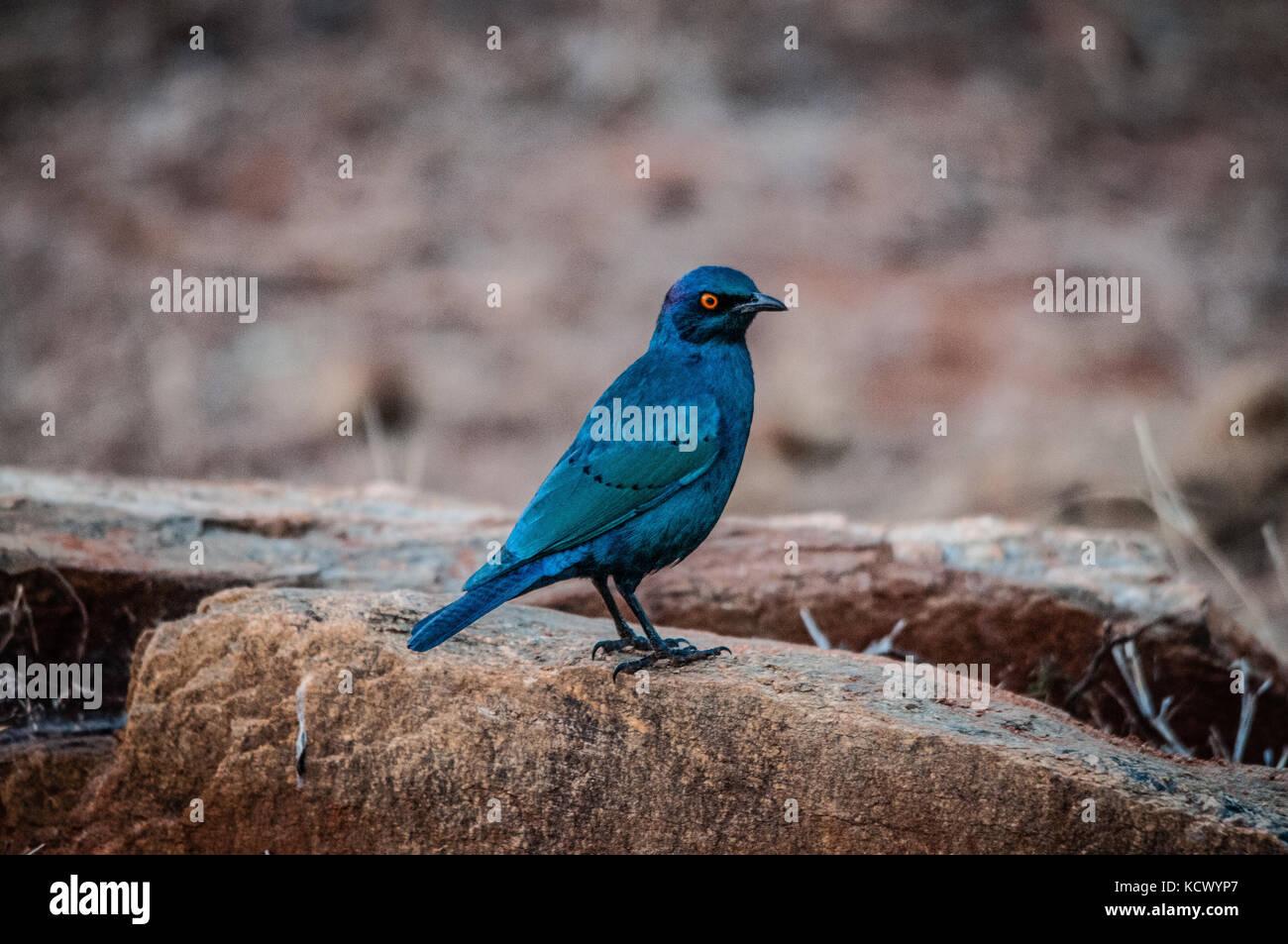 blu bird at kruger park - Stock Image