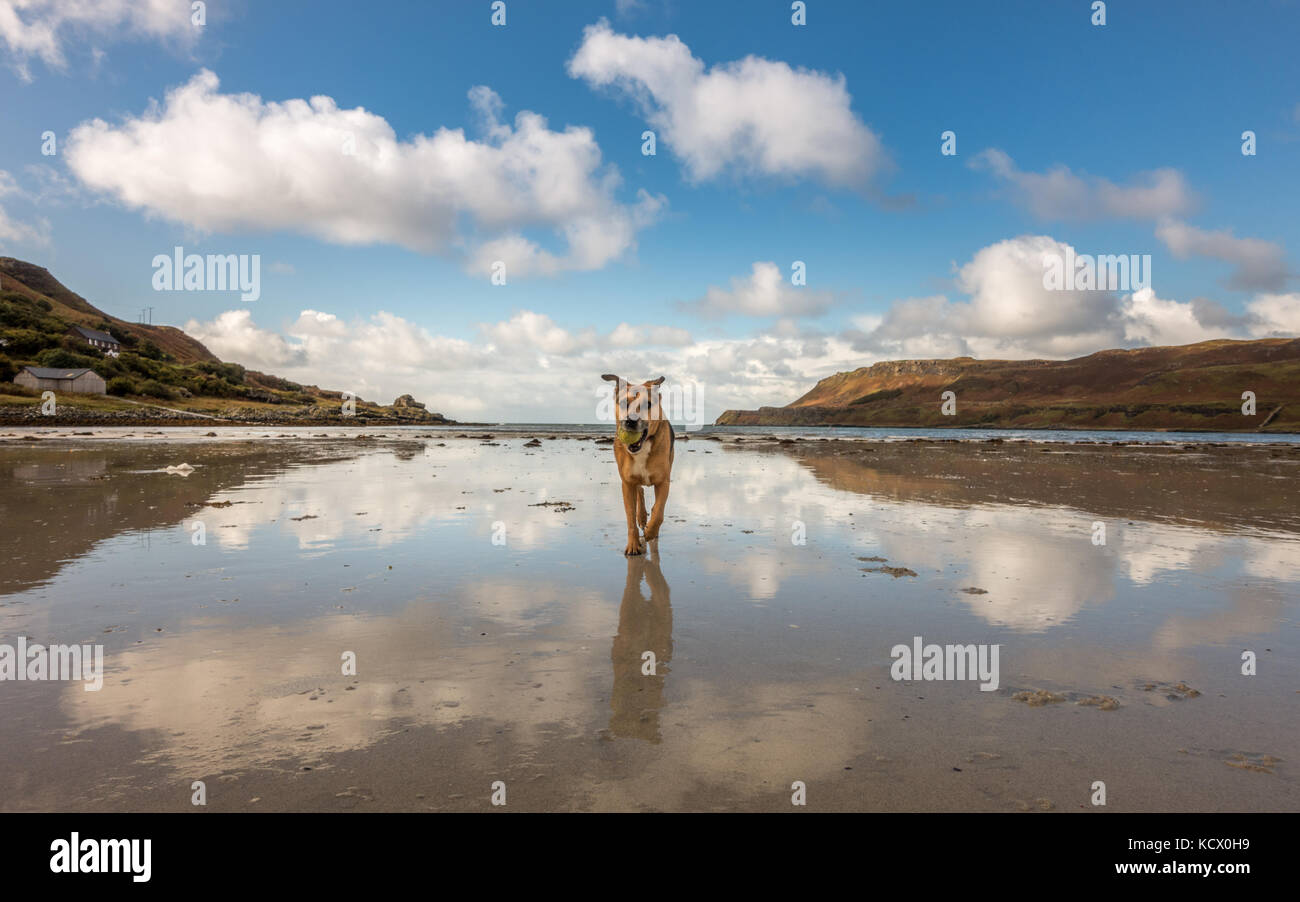 Dog fetching a ball with the backdrop panorama of Calgary Bay, Isle of Mull, Scotland - Stock Image
