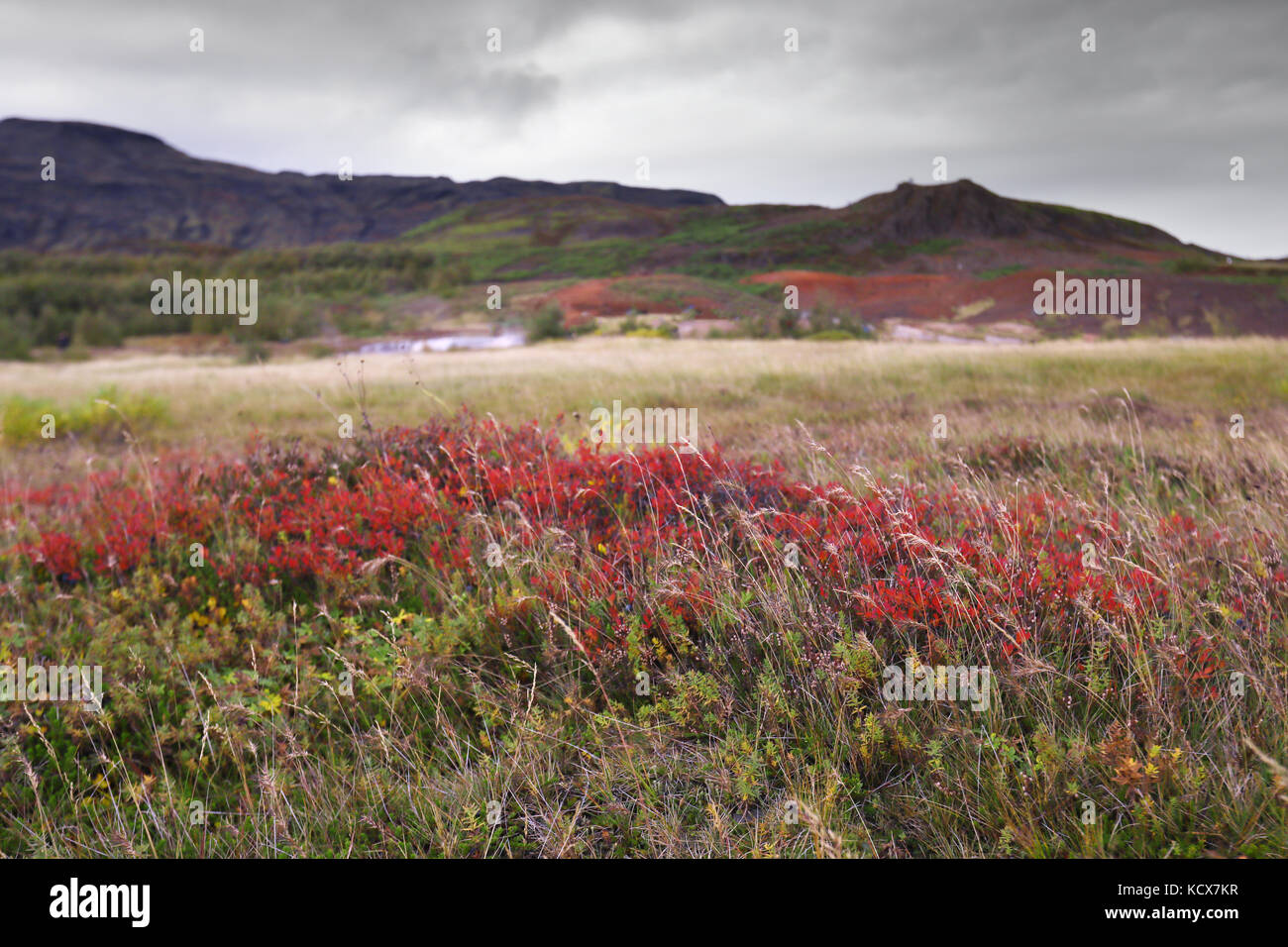 Colorful fields with flowers in Iceland - Stock Image