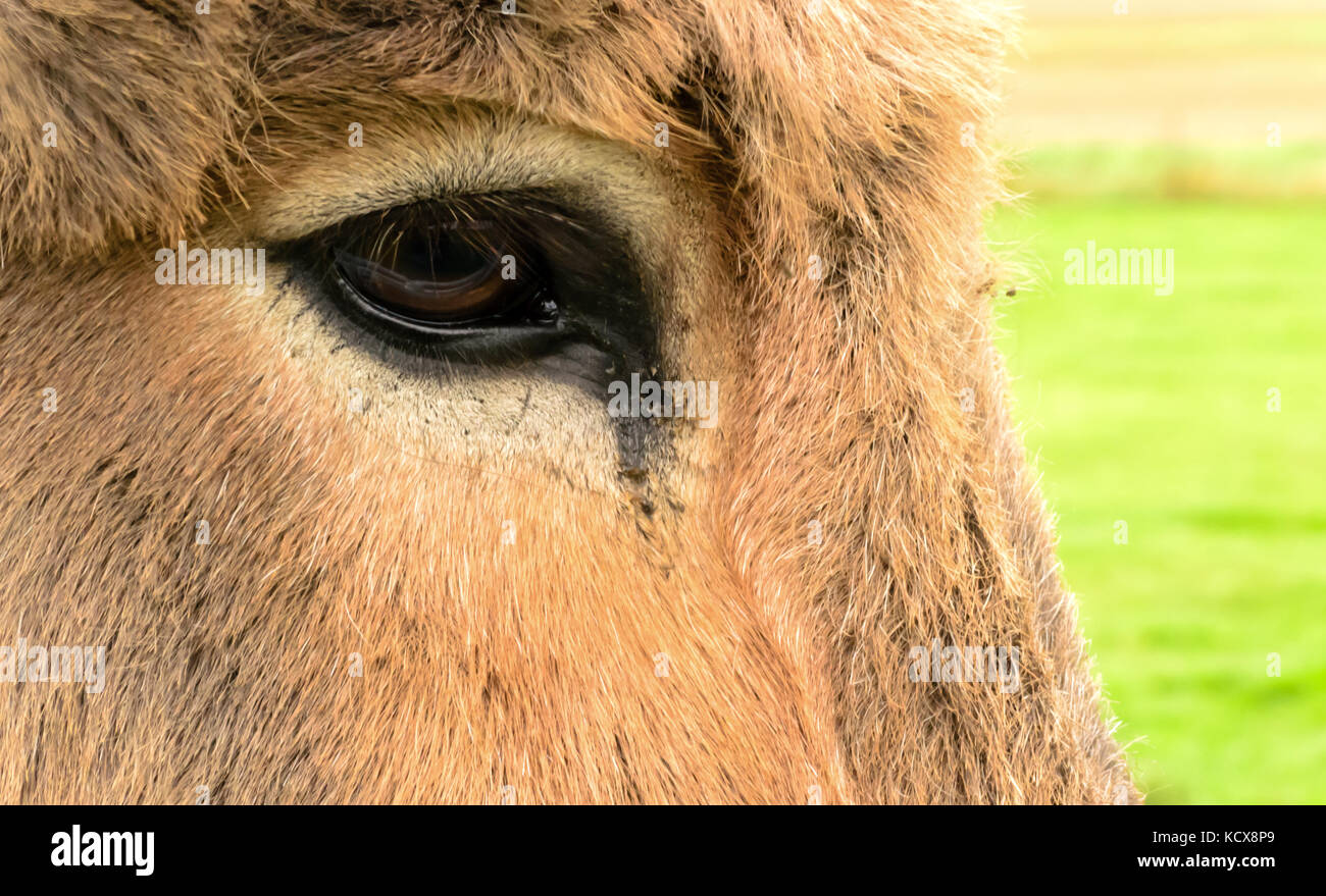 A close up of a Donkeys brown eye looking slightly tearful and full of sorrow. - Stock Image