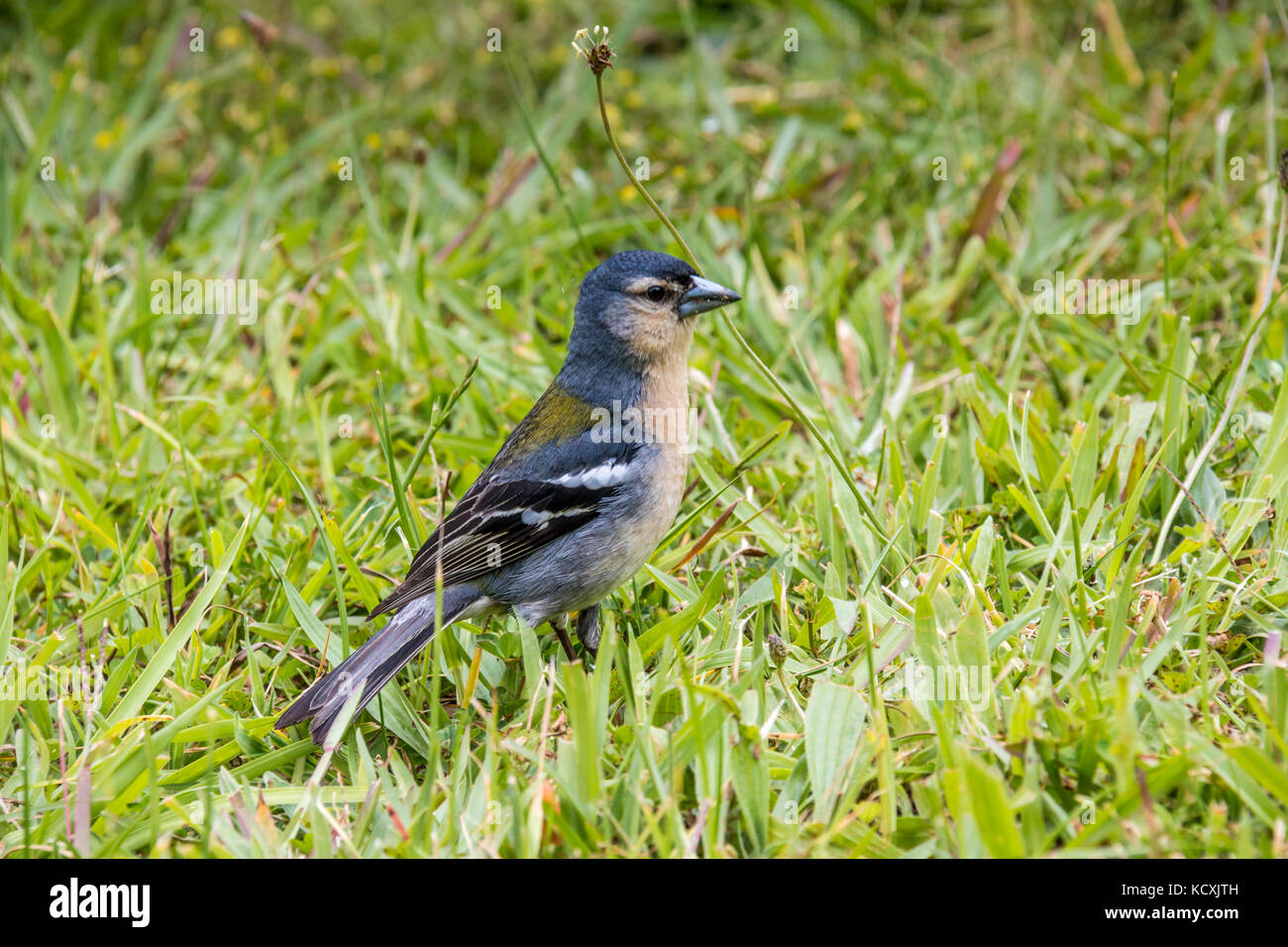 Azores Chaffinch (Fringilla coelebs moreletti) found by the Furnas lake in São Miguel island. - Stock Image