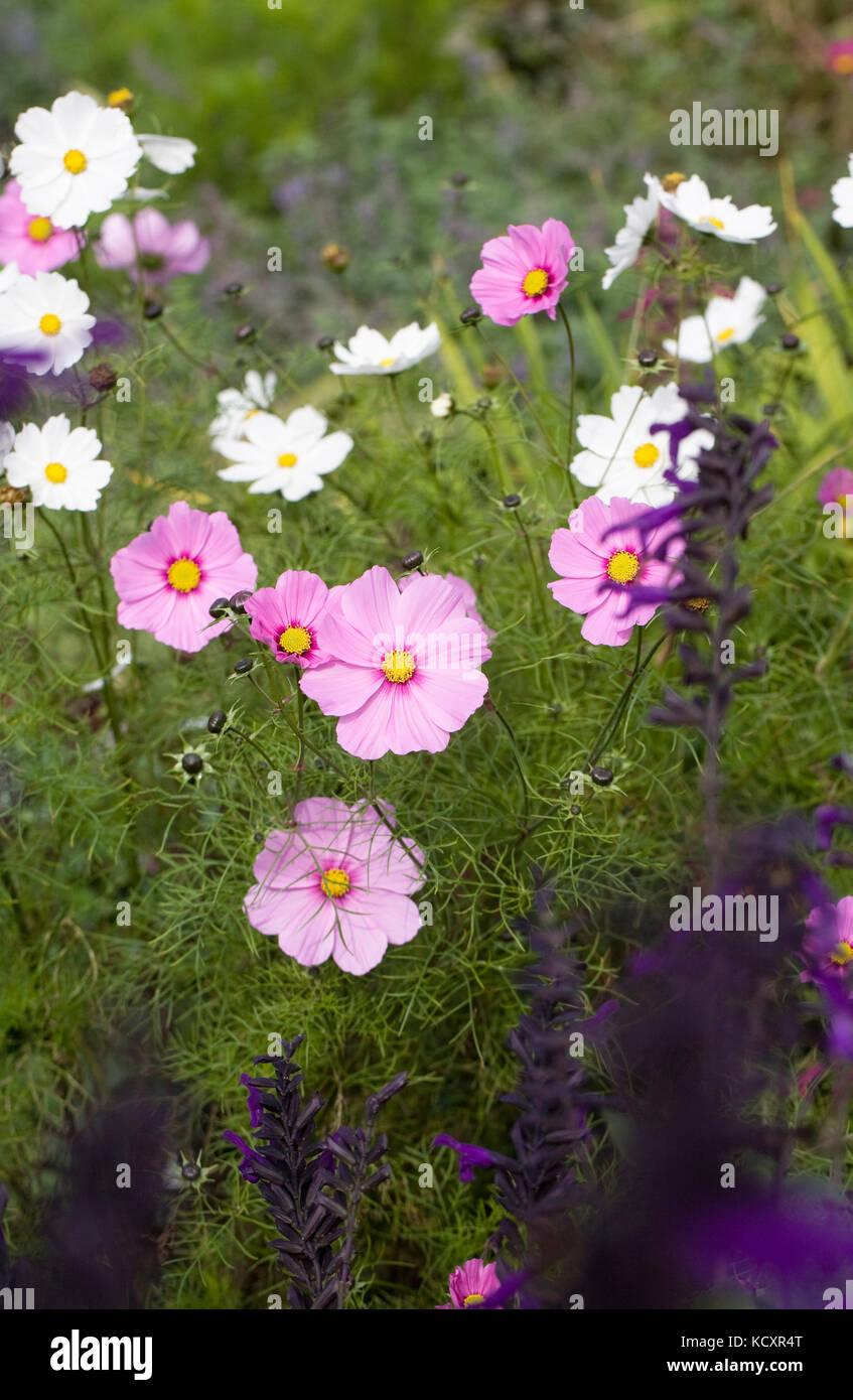 Cosmos bipinnatus flowers amongst Salvias. - Stock Image