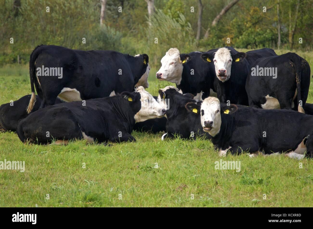 Black Hereford cattle, Wilstone Reservoir, Tring - Stock Image