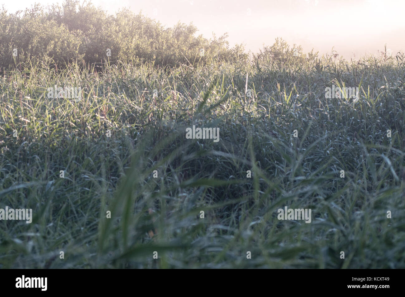 White morning fog over green, deep grass field. Forest behind. - Stock Image