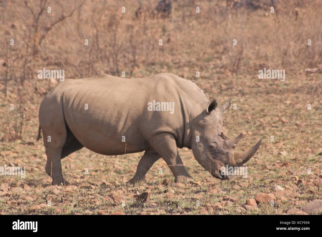 White Rhino walking in the Pilanesberg National Park, South Africa - Stock Image