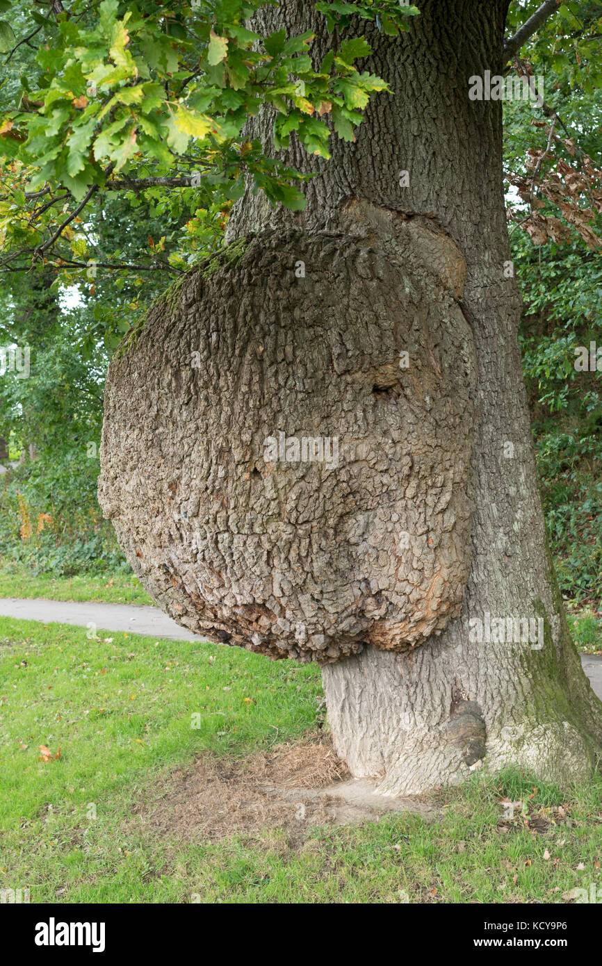 A large bur or growth on the side of an oak tree, Keswick, Cumbria, England, UK - Stock Image