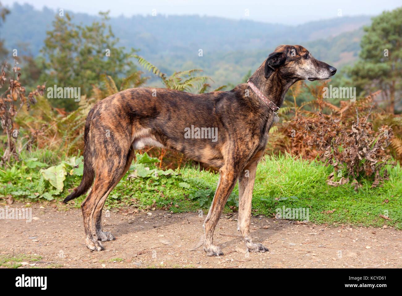 lurcher, brindle dog mature adult, standing above Devils Punchbowl, Surrey, England - Stock Image
