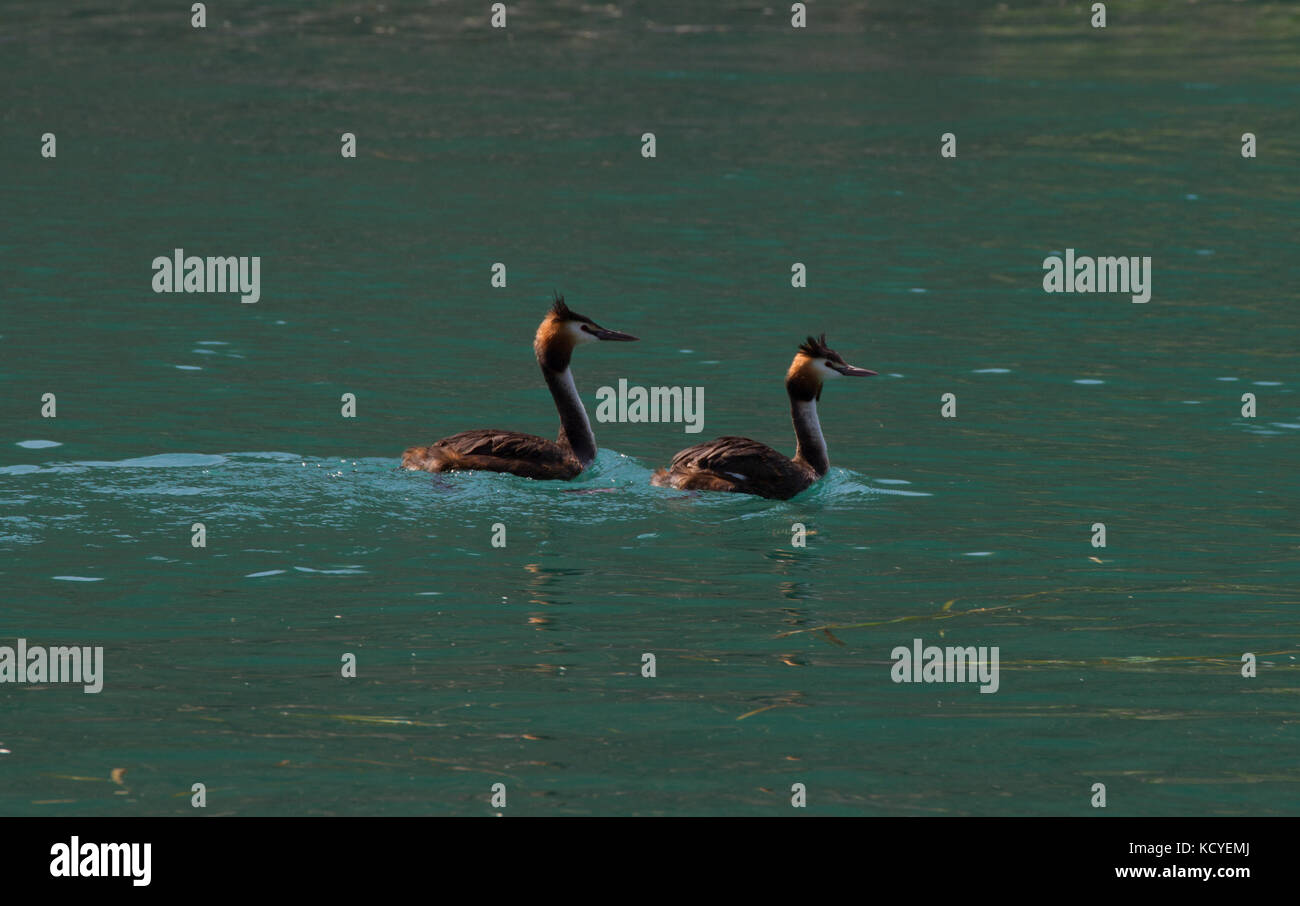 Great Crested Grebe. Podiceps cristatus. Pair of adults swimming. Lake Garda. Italy - Stock Image