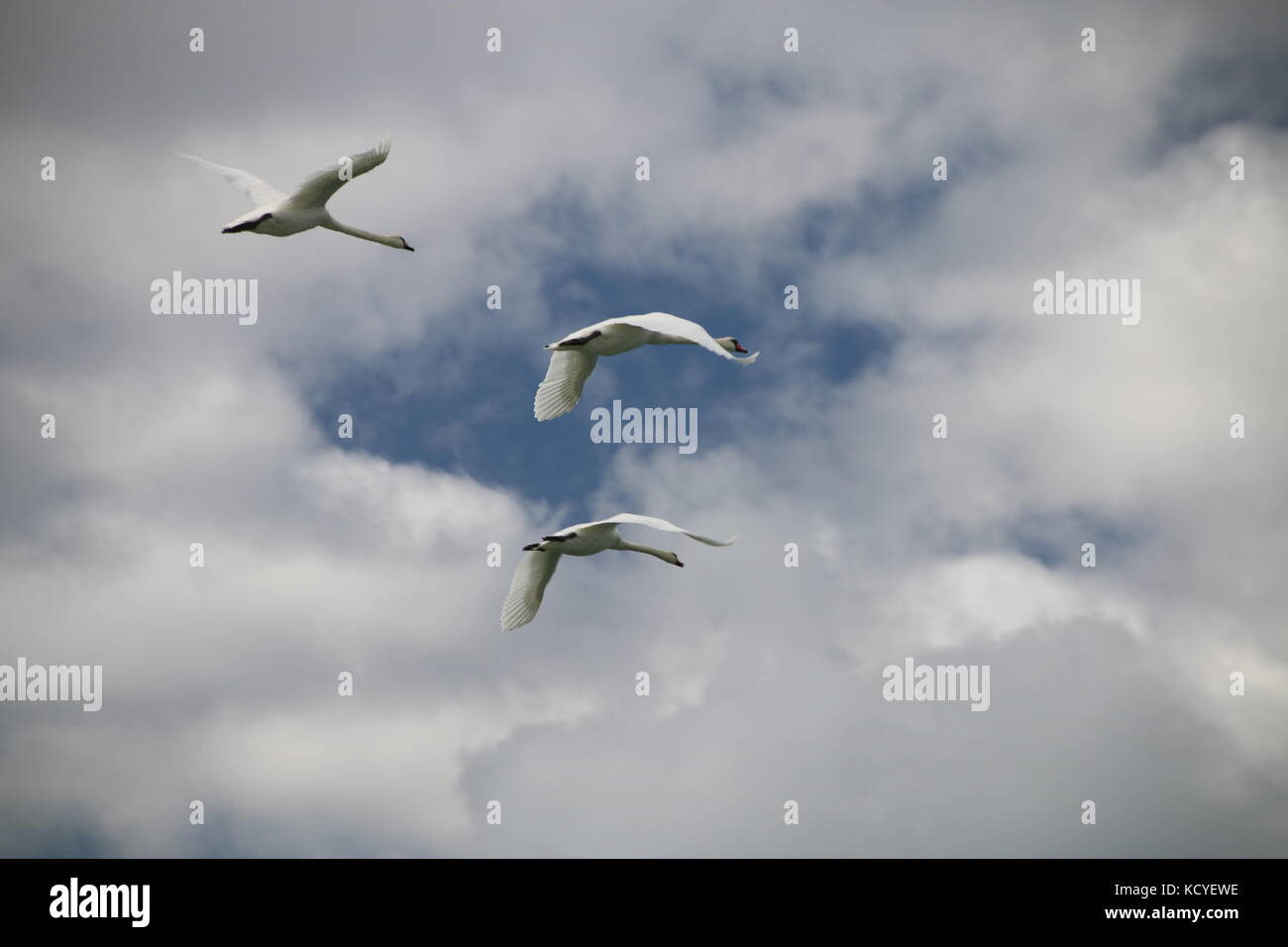 Three swans flying along the coast of the Baltic Sea. - Stock Image