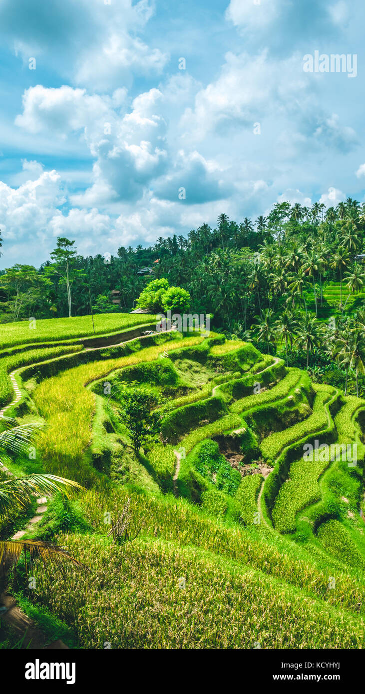 Moving rainy clouds over amazing tegalalang Rice Terrace field with beautiful palm trees growing in cascade, Ubud, - Stock Image