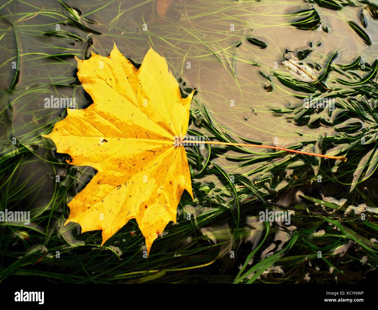 Fallen maple leaf in green algae. Rotten yellow orange dotted maple leaf in cold water of rapids. Colorful autumn - Stock Image