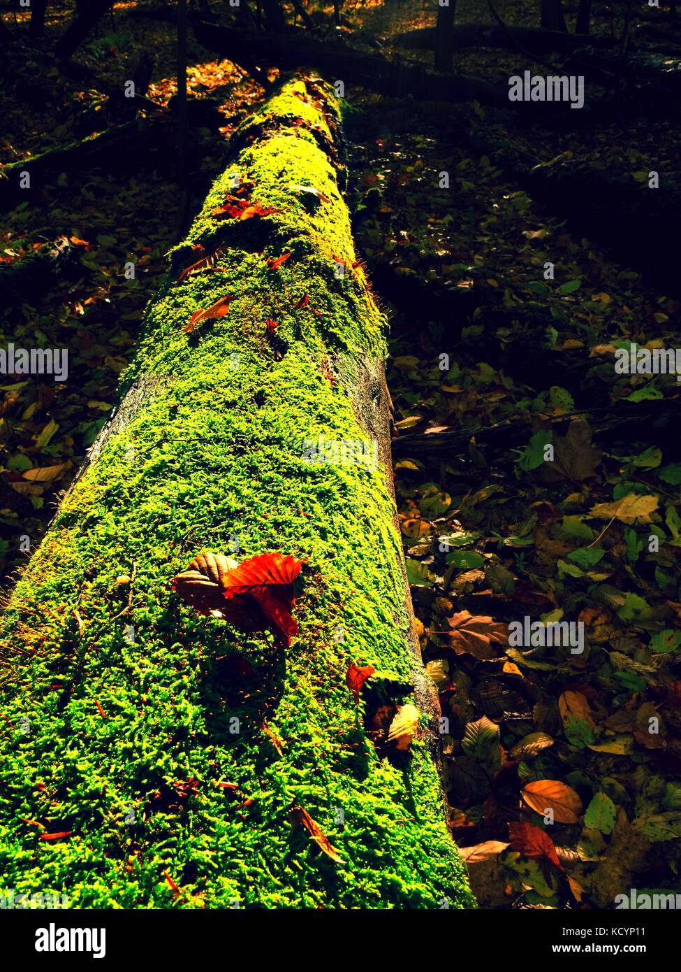 Mysterious wild muschroom in lighting forest. Slim stalk fallen leaf on cap with surreal light. Moss and fairytale mushroom & Mysterious wild muschroom in lighting forest. Slim stalk fallen ...