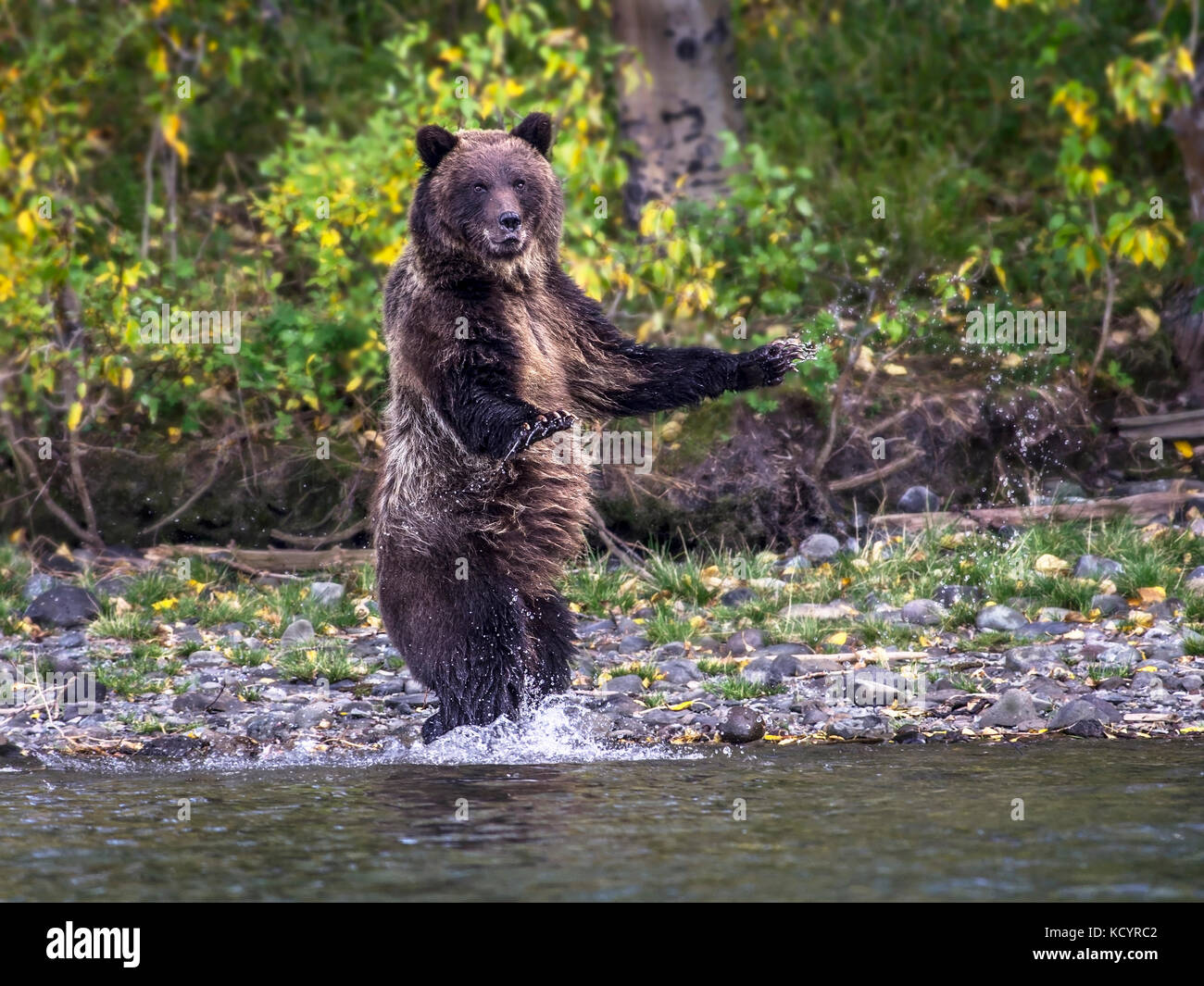 Grizzly Bear (Ursus arctos horribilis), Adult, startled and standing on edge of slamon stream, Fall, Autumn, Central - Stock Image