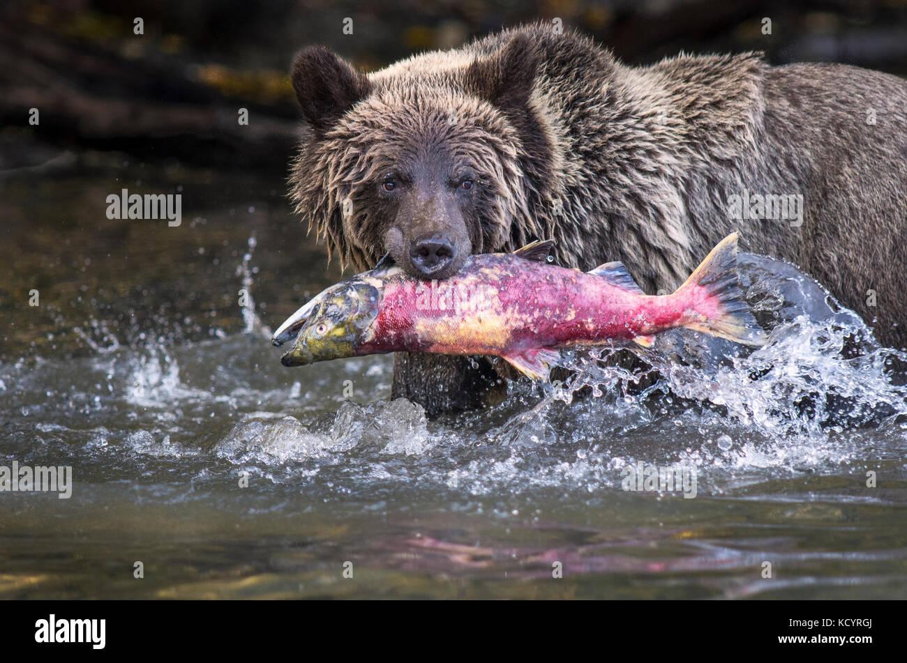 Grizzly Bear (Ursus arctos horribilis), secind year cub in water of salmon stream  feeding on Sockeye Salmon (oncorhynchus - Stock Image