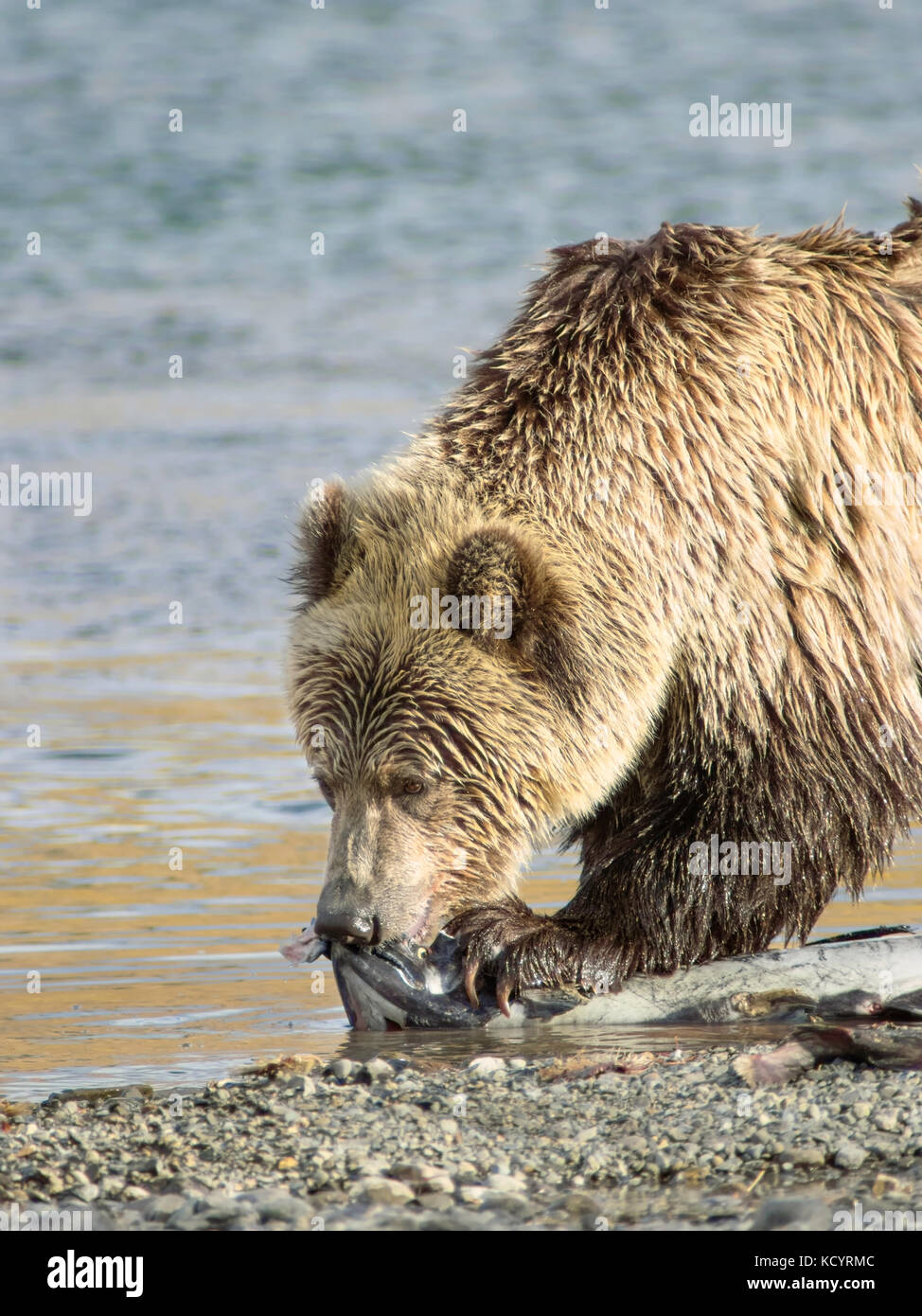 Grizzly Bear (Ursus arctos horribilis), Adult, on waters edge of a salmon stream with Spring (Chinook, Tyee, King) - Stock Image