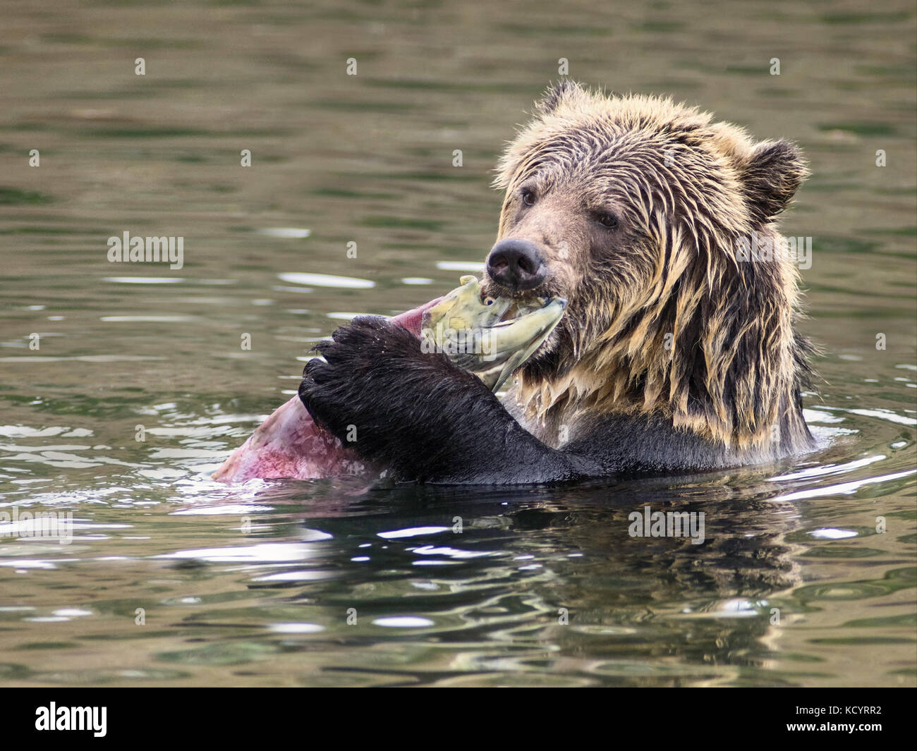 Grizzly Bear (Ursus arctos horribilis), Sub-Adult, in water of salmon stream  feeding on Sockeye Salmon (oncorhynchus - Stock Image