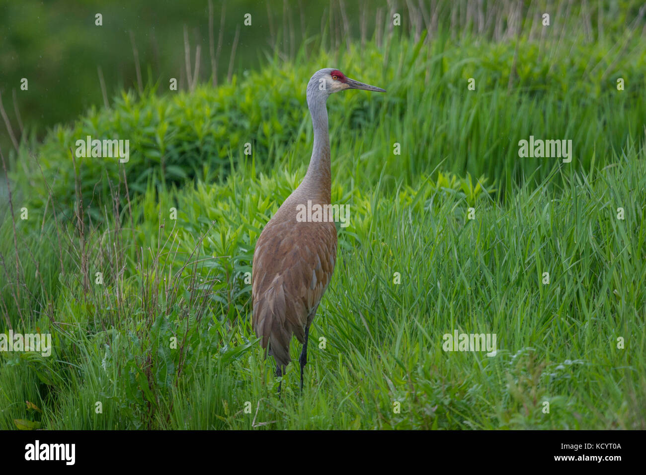 The omnivorous Sandhill Crane (Antigone canadensis ) feeds on land or in shallow marshes where plants grow out of - Stock Image