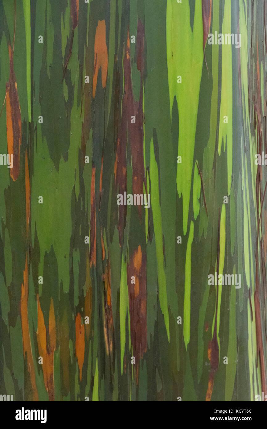 Bark of the Eucalyptus tree, Maui, Hawaiian Islands, USA - Stock Image