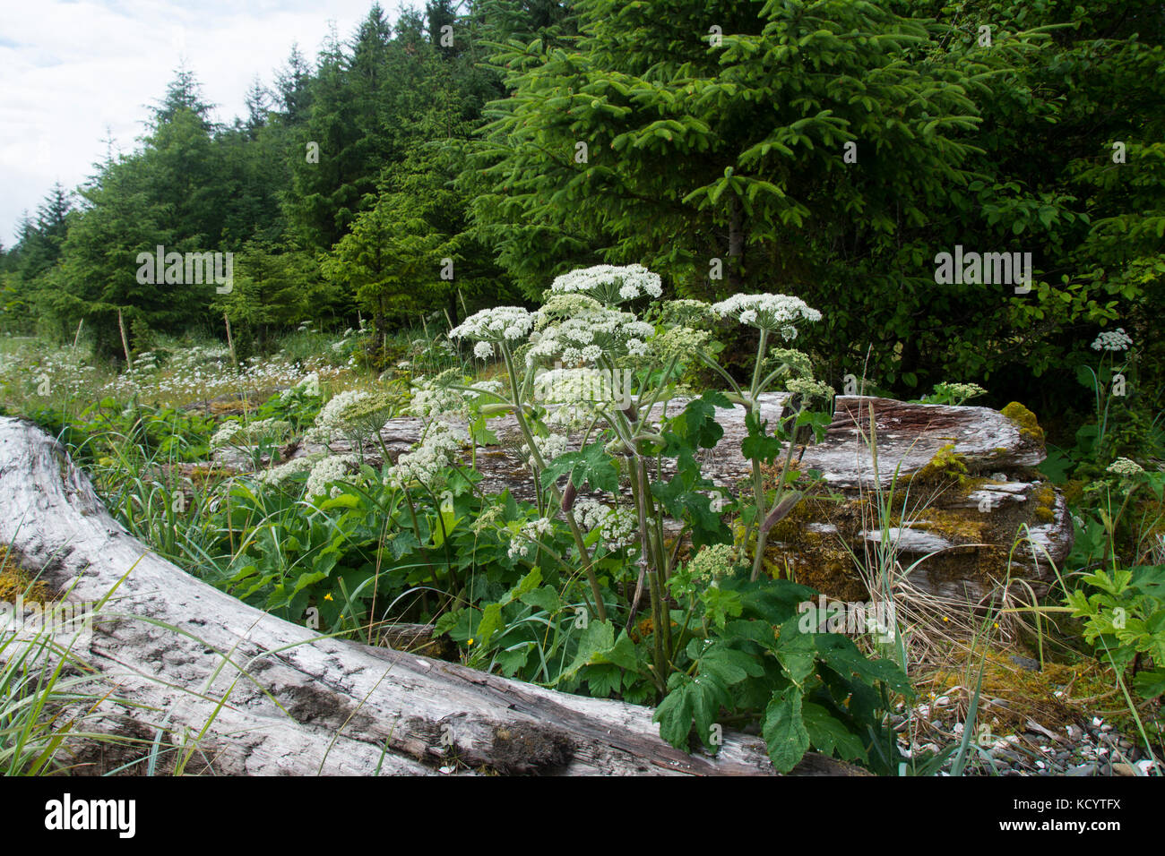 Cow parsnip, Heracleum maximum, on Haida Gwaii, formerly known as Queen Charlotte Islands, British Columbia, Canada - Stock Image