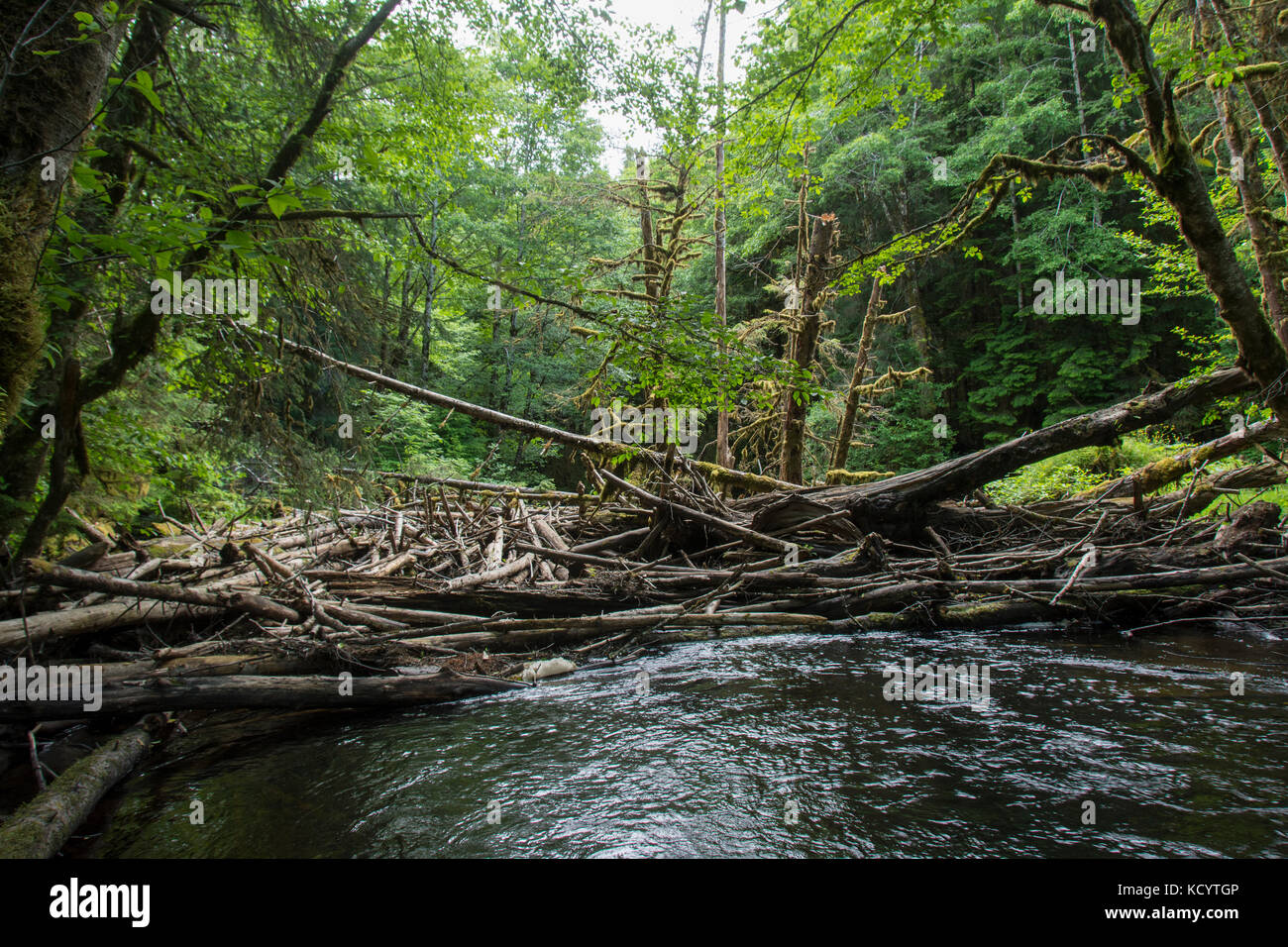 Log jam on Copper River, Moresby Island, Haida Gwaii, formerly known as Queen Charlotte Islands, British Columbia, - Stock Image