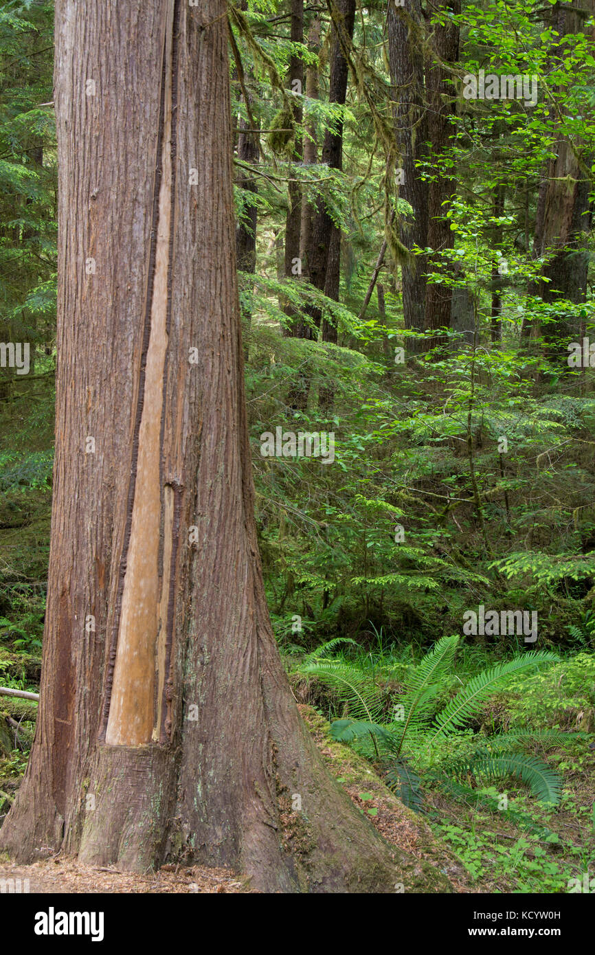 Golden Spruce trail, Port Clements, Culturally modified cedar tree, Haida Gwaii, formerly known as Queen Charlotte - Stock Image