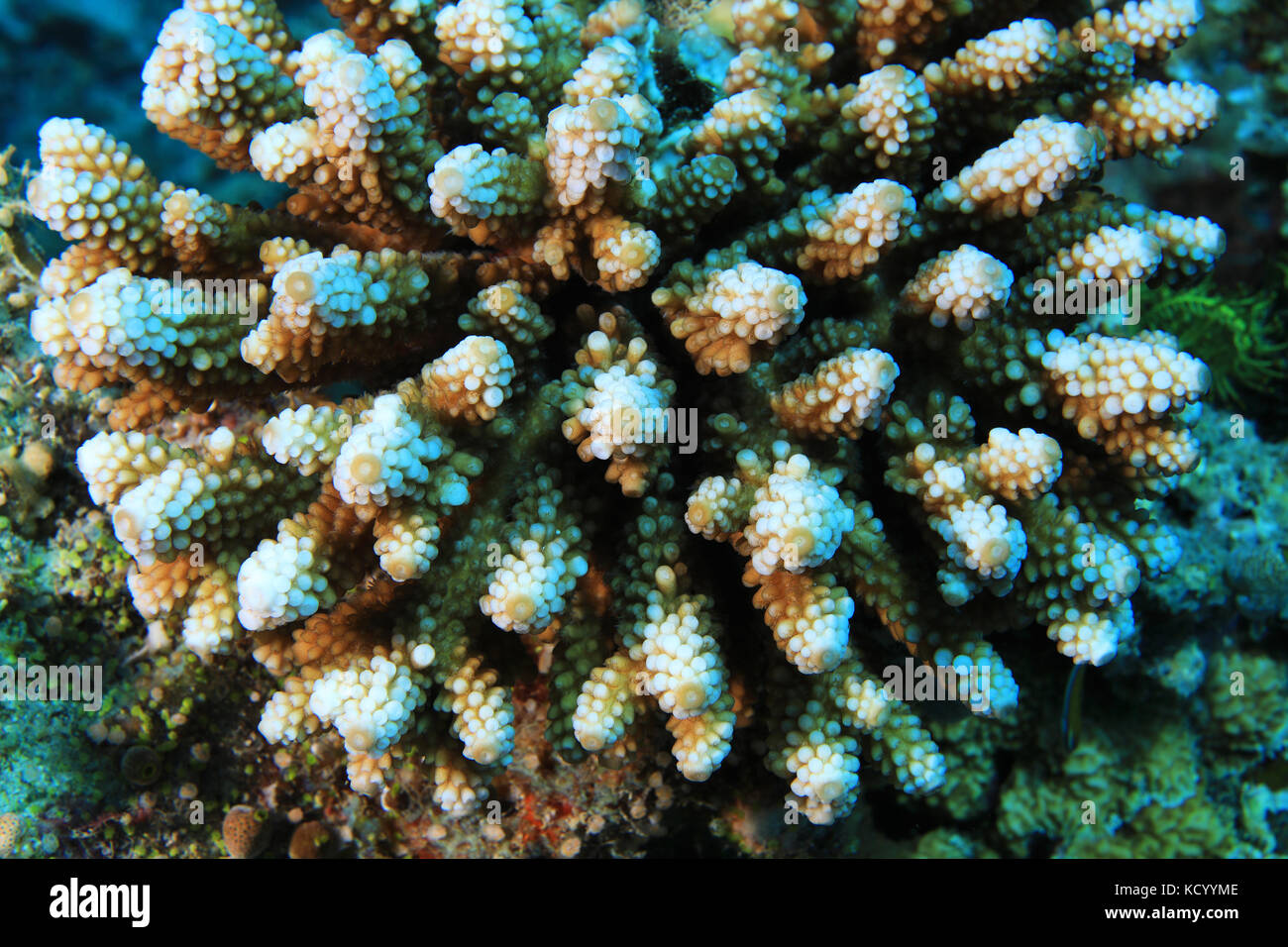 Close up of stony coral underwater in the tropical reef of the indian ocean - Stock Image
