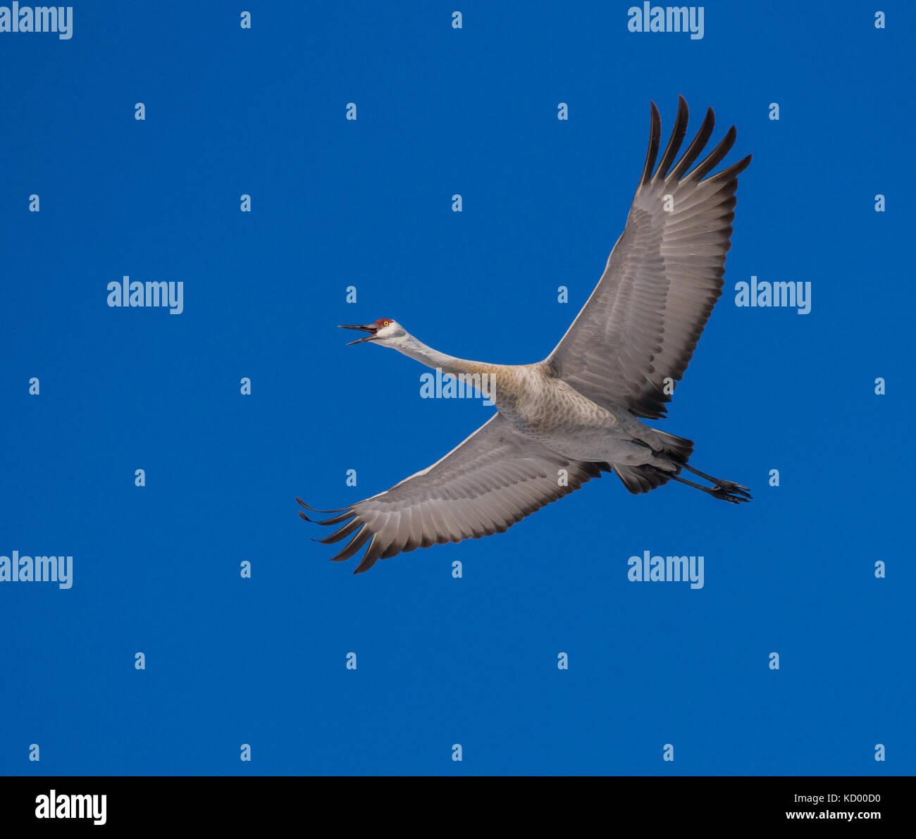 sandhill crane, Grus canadensis, North Bay region, West Nipissing, north eastern ontario Stock Photo