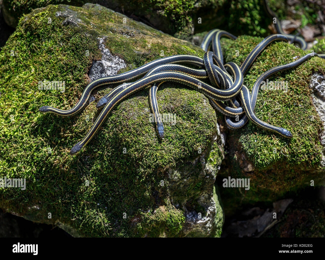 Red-sided Garter snakes emerging from wintering den during annual mating ritual, Narcisse Snake Dens, Narcisse, - Stock Image