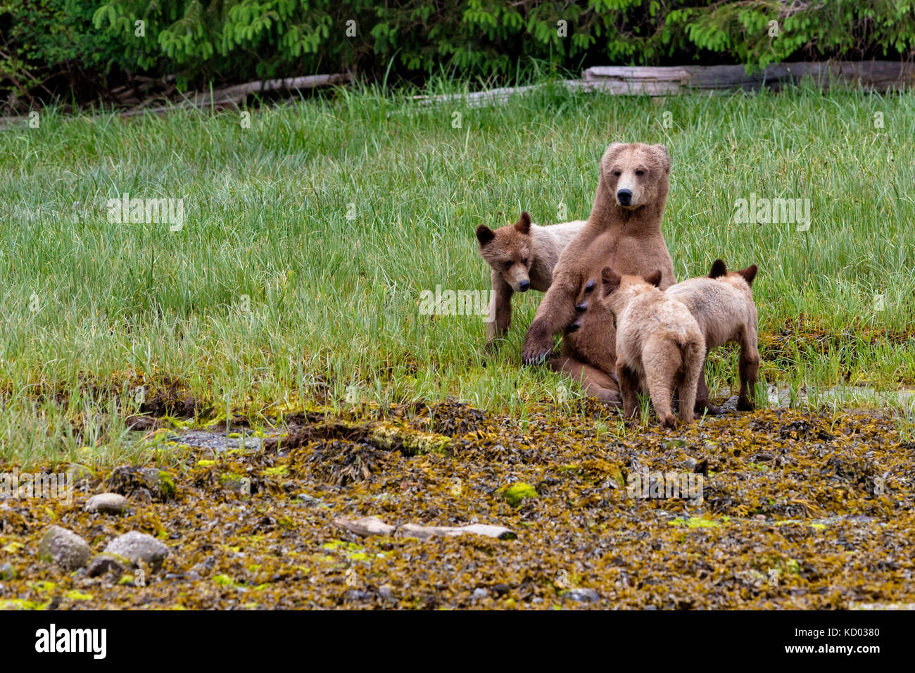 Grizzly bear mom nursing her cubs in Gelndale Cove, British Columbia, Canada. - Stock Image