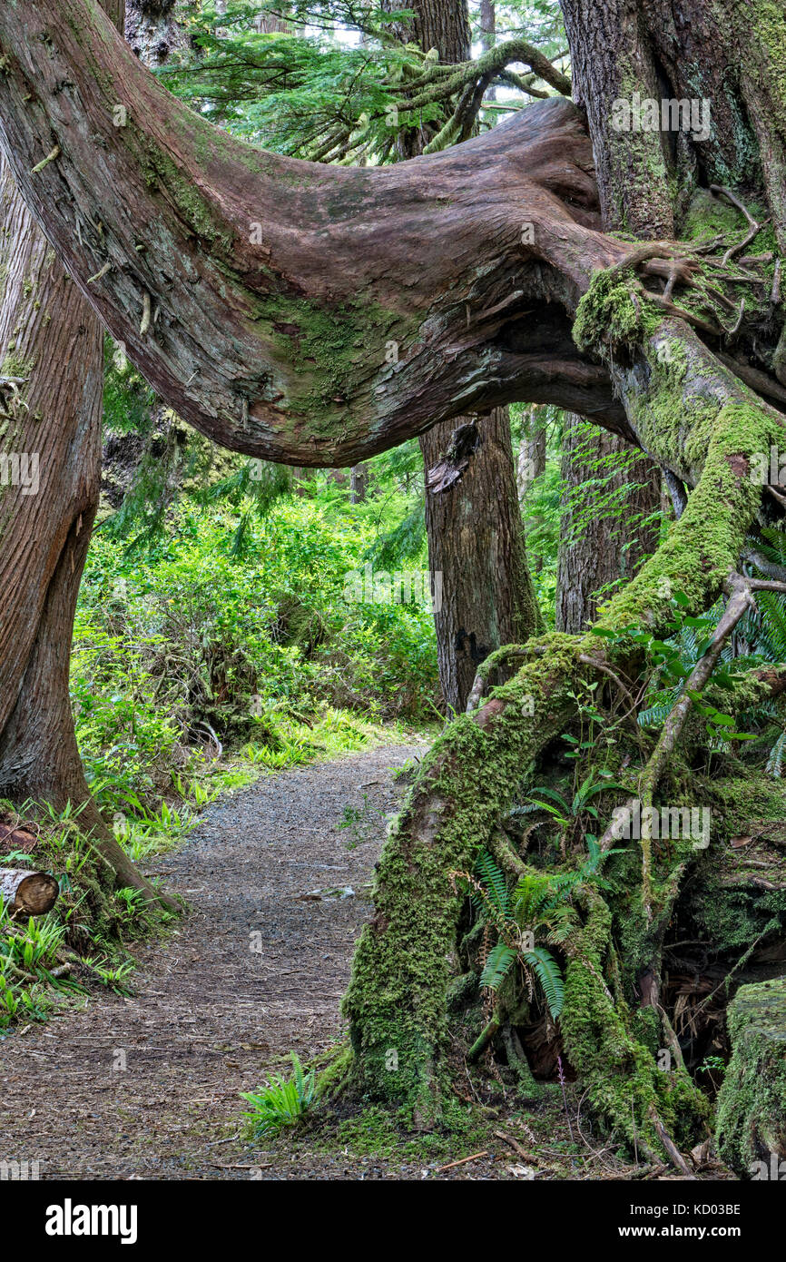 Path leading under a nursing tree in a rain forest, Cape Scott Provincial Park, Vancouver Island, British Columbia, - Stock Image