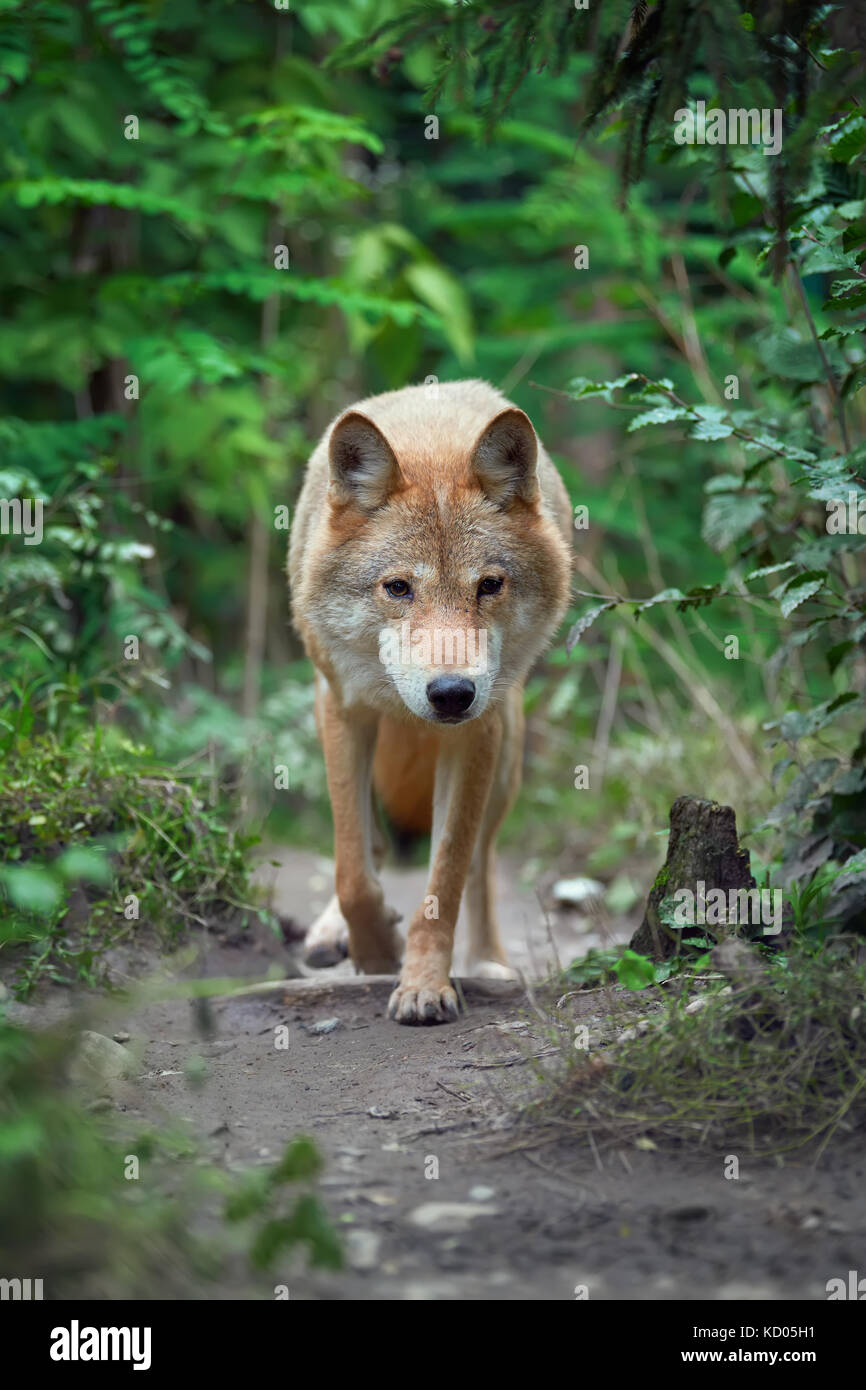Timber wolf hunting in the forest - Stock Image
