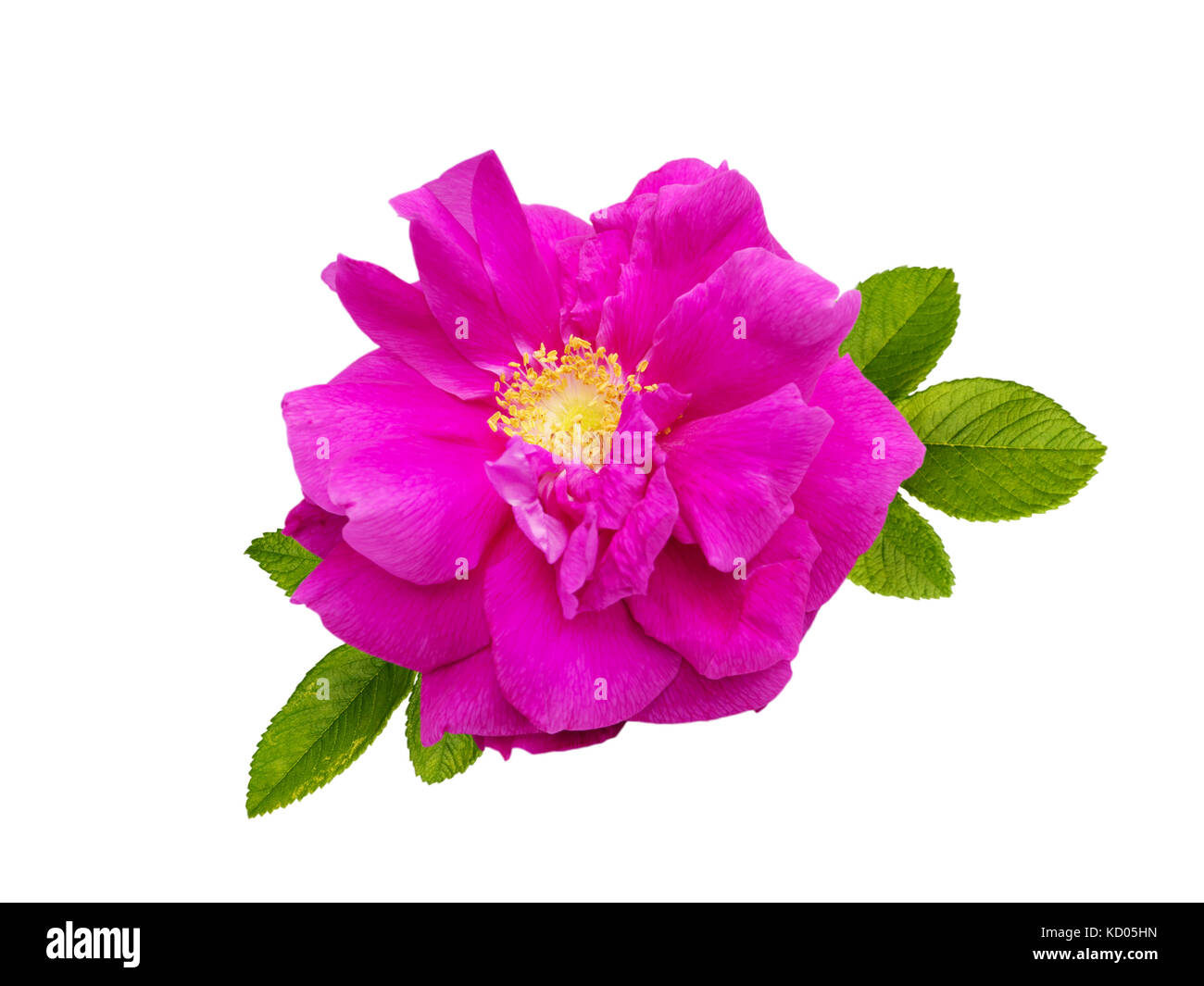 Dark magenta rugosa rose flower isolated on white Stock Photo