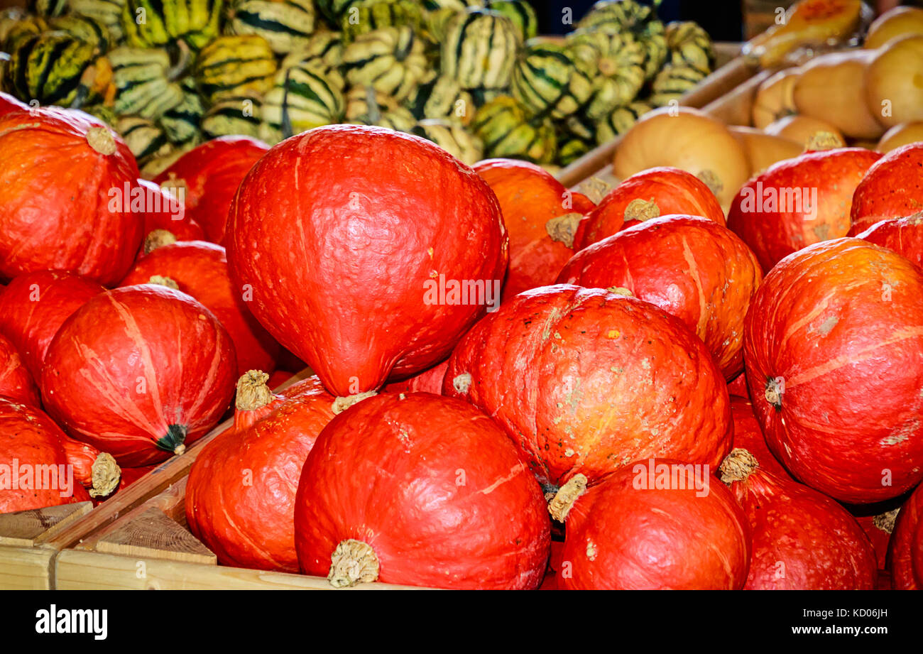 Fall display- Hokkaido pumpkins also called Red Kuri (Cucurbita maxima) Stock Photo
