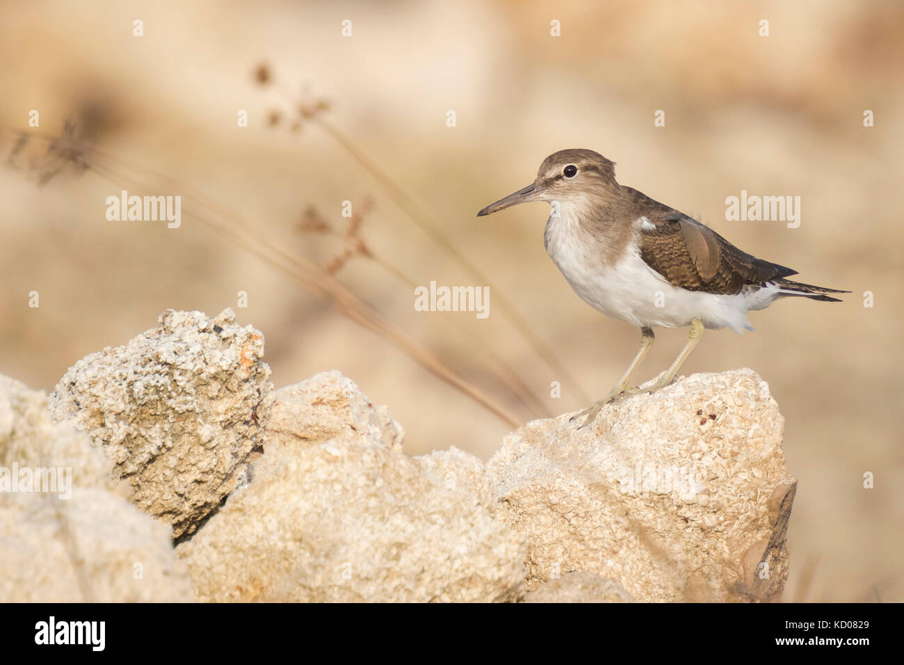 Common Sandpiper (Actitis hypoleucos) on the lookout perched on a rock - Stock Image