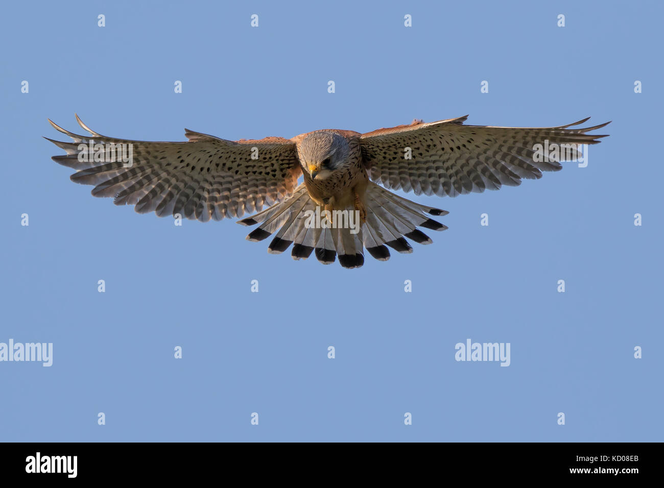 Detailed close up of a wild, adult male kestrel (Falco tinnunculus) skilfully hovering in mid air, wings fully extended. - Stock Image