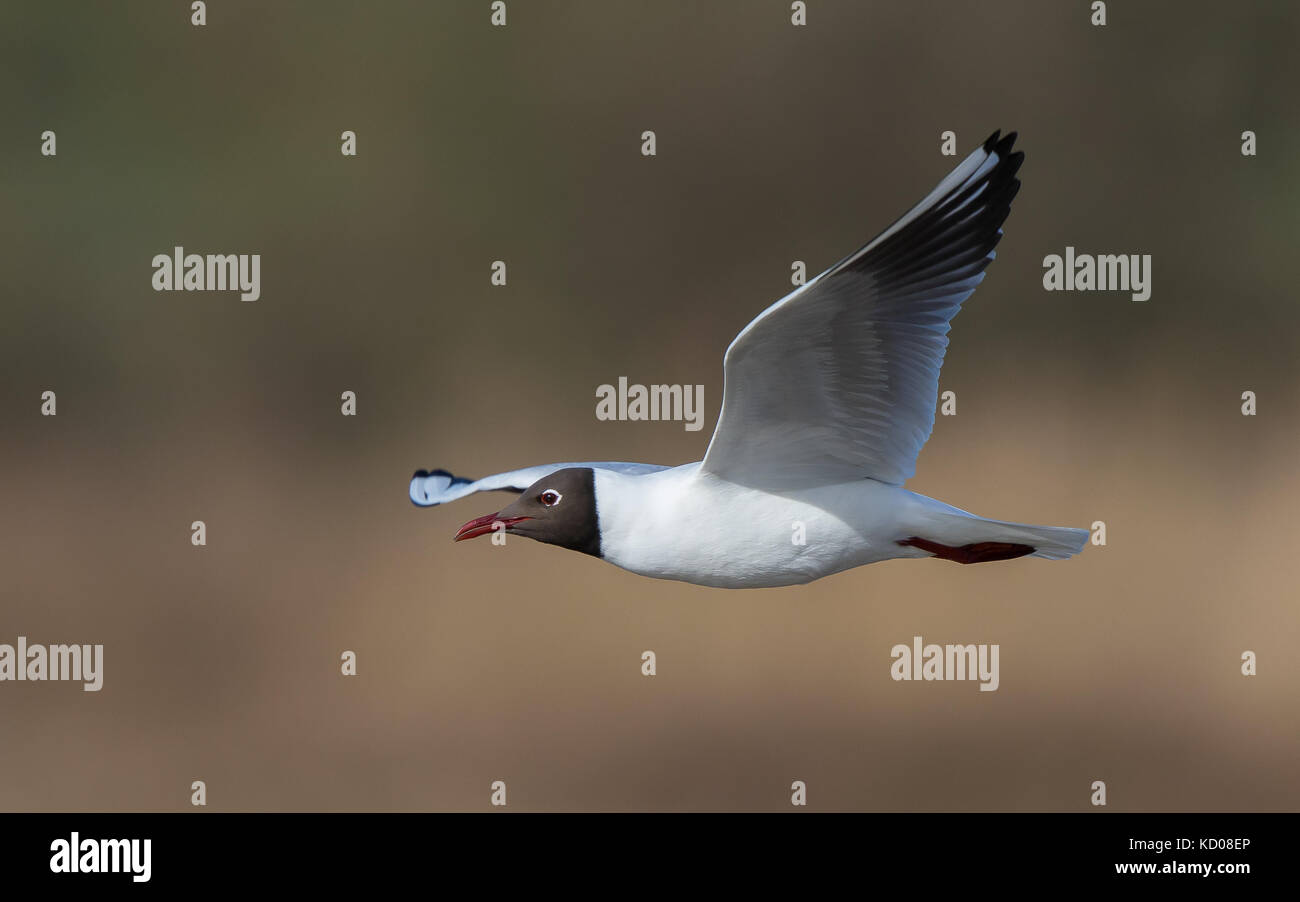 Detailed close up of a black-headed gull (Chroicocephalus ridibundus) in flight (side-on perspective), wings fully - Stock Image