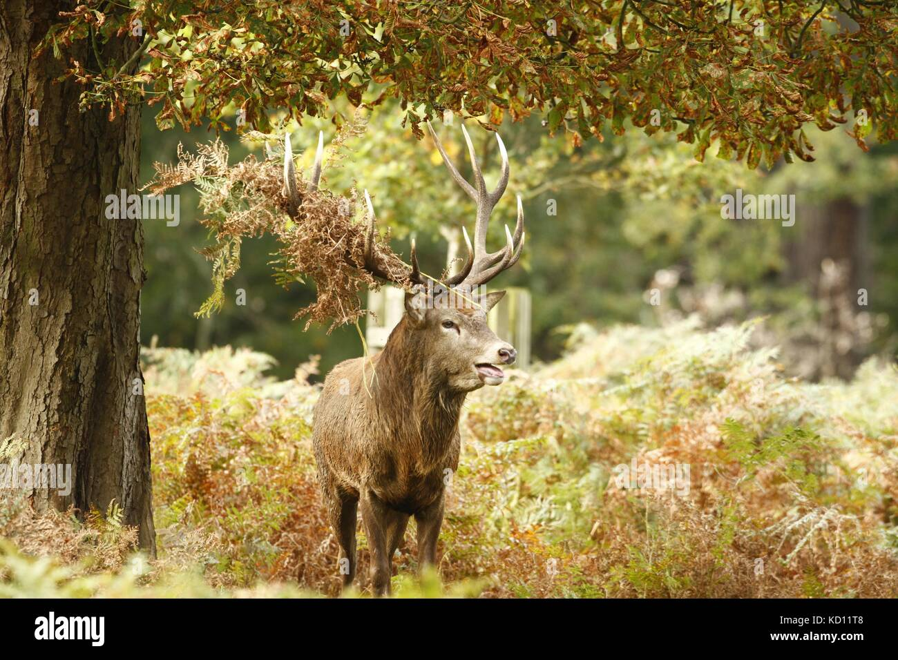 Richmond park, London. 9th Oct 2017. UK weather. A Red deer stag bellows during the annual rut in Richmond park, Stock Photo