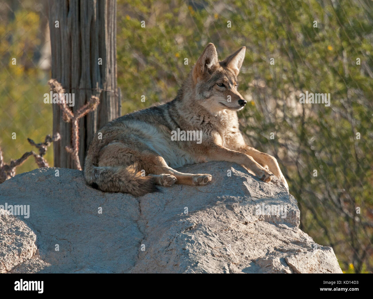 Coyote (Canis latrans), resting but alert at the Arizona Sonoran Desert Museum, Tucson, AZ - Stock Image