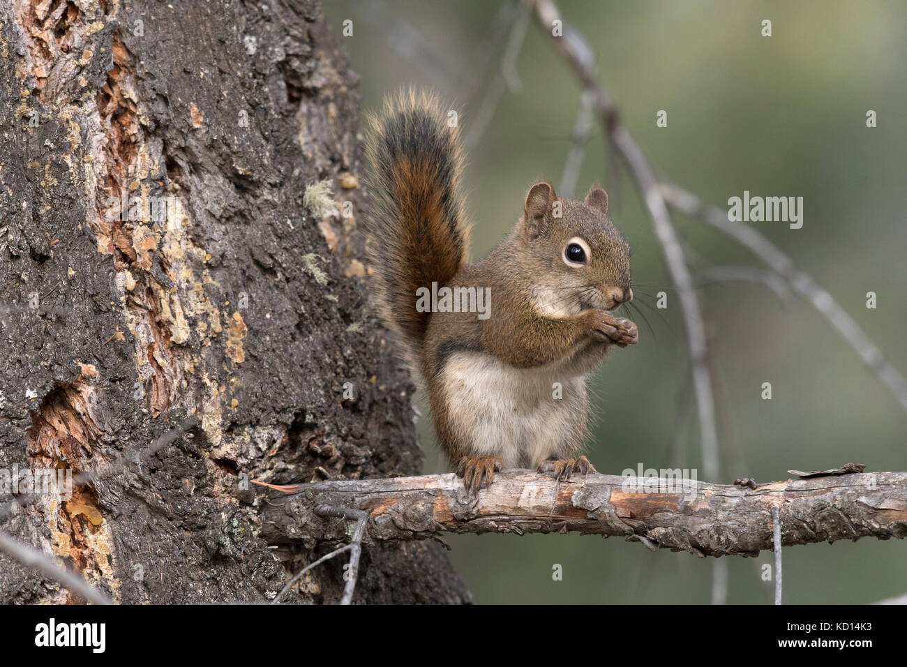 Red Squirrel sitting on branch looking at viewer. (Tamiasciurus hudsonicus).  Alberta, Canada. - Stock Image