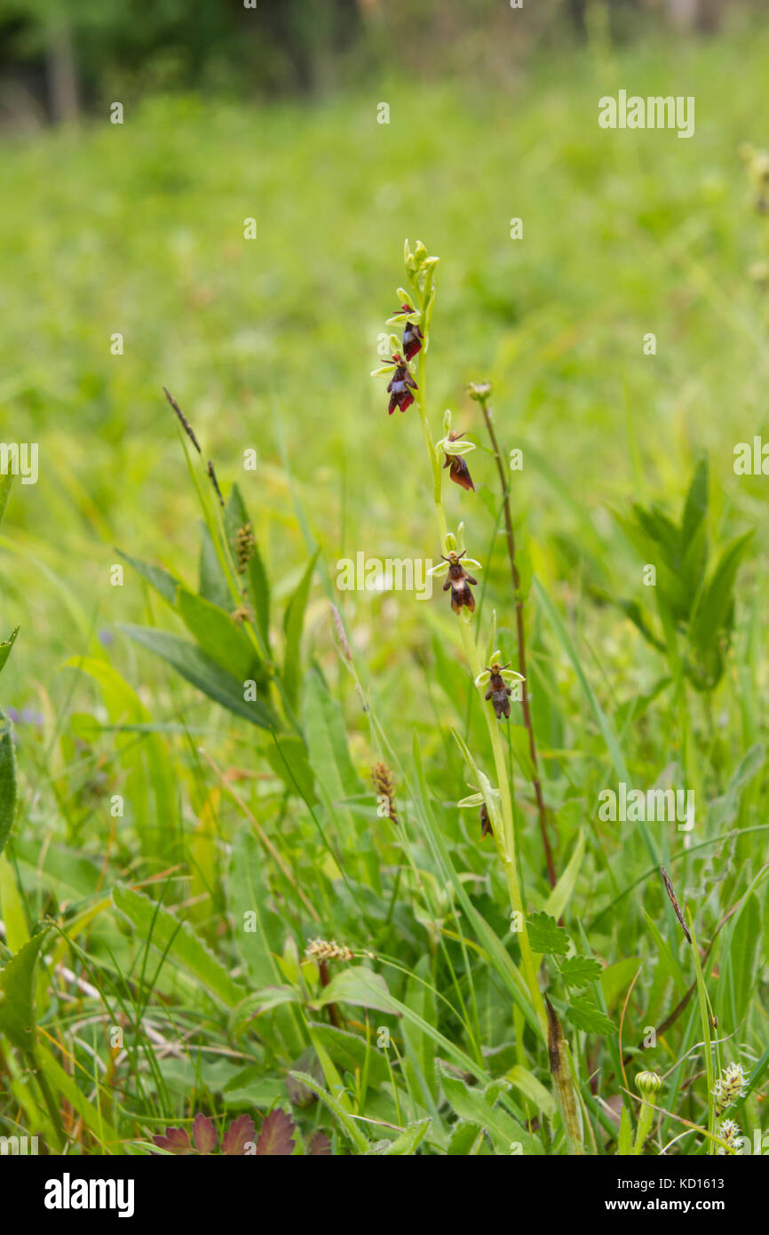 Fly Orchid (Ophrys insectifera) - Stock Image