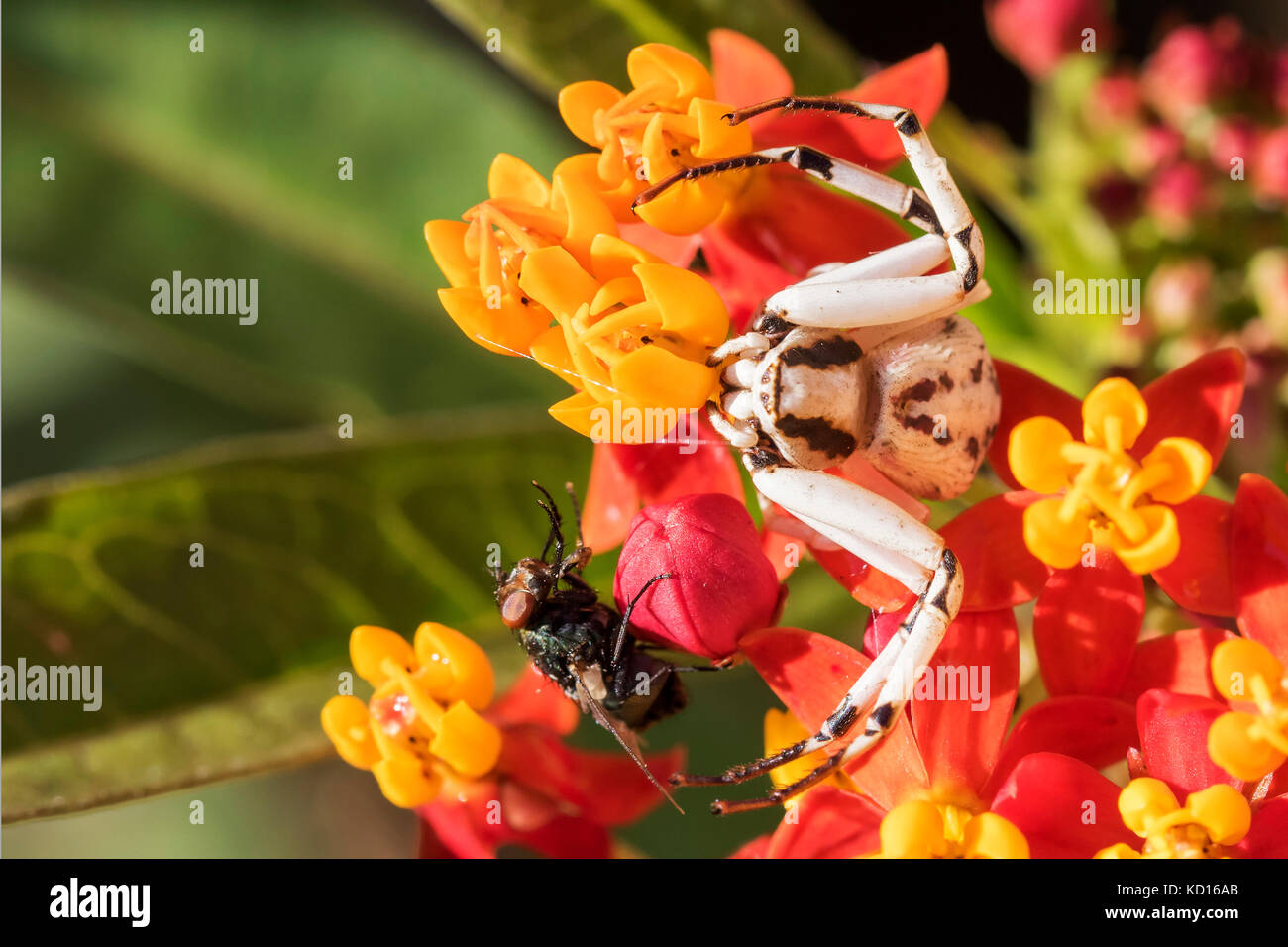 Crab spider catches fly, grabs it and stings then eats - Stock Image