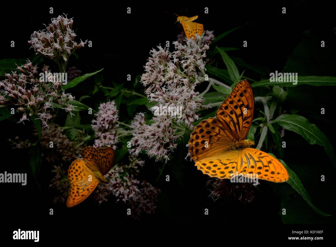 Butterflies on flowers - Stock Image