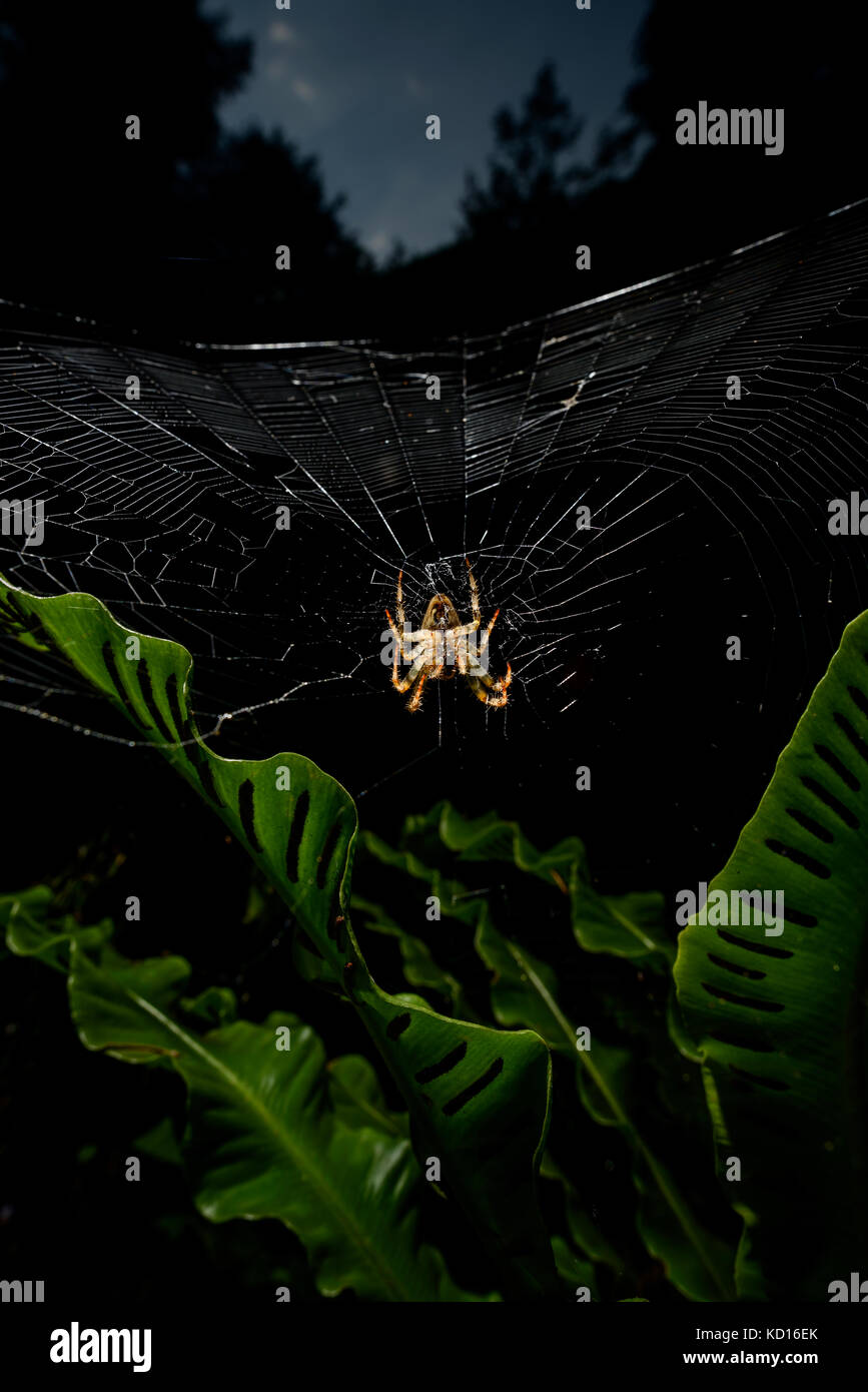Spider on spider web - Stock Image