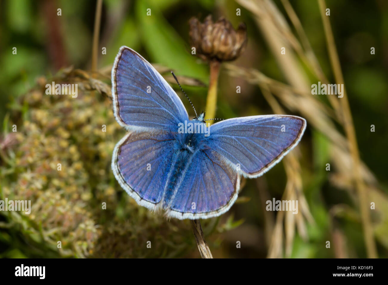 Common Blue butterfly resting - Stock Image