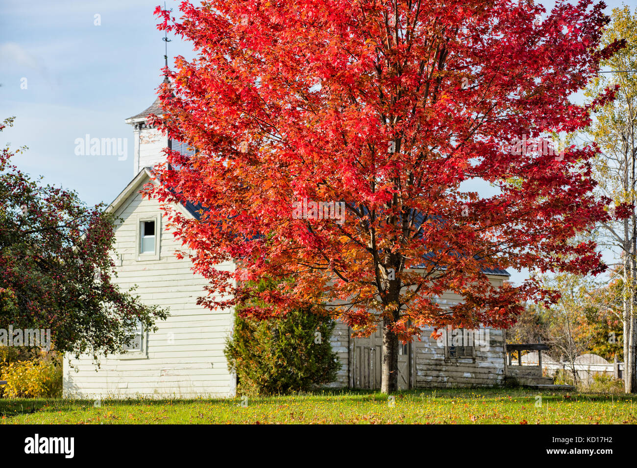 Maple tree and barn, St. Martins, Bay of Fundy, New Brunswick, Canada - Stock Image