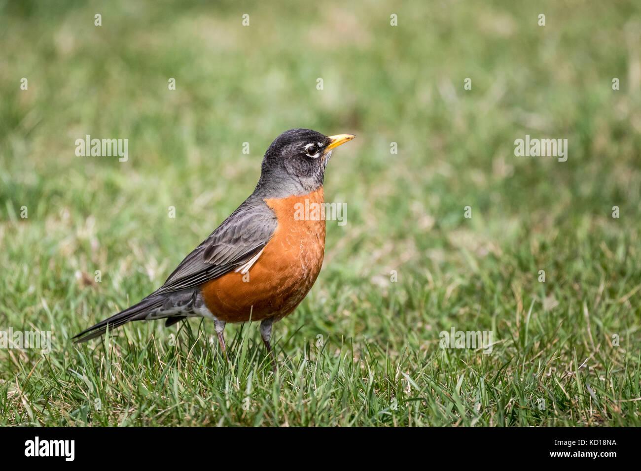 American Robin (Turdus migratorius), Scarborough Bluffs, Toronto, Ontario, Canada - Stock Image