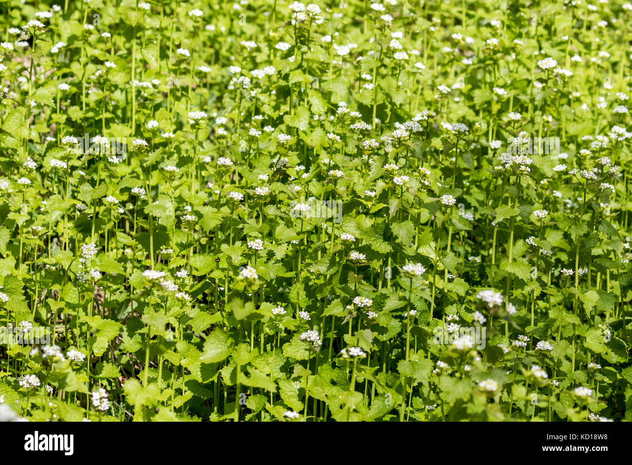 Garlic Mustard (Alliaria petiolata) an invasive weed brought to North Amercan from Europe - this patch was found in Cudia Park in the Scarborough Bluffs of eastern Toronto, Ontario, Canada Stock Photo