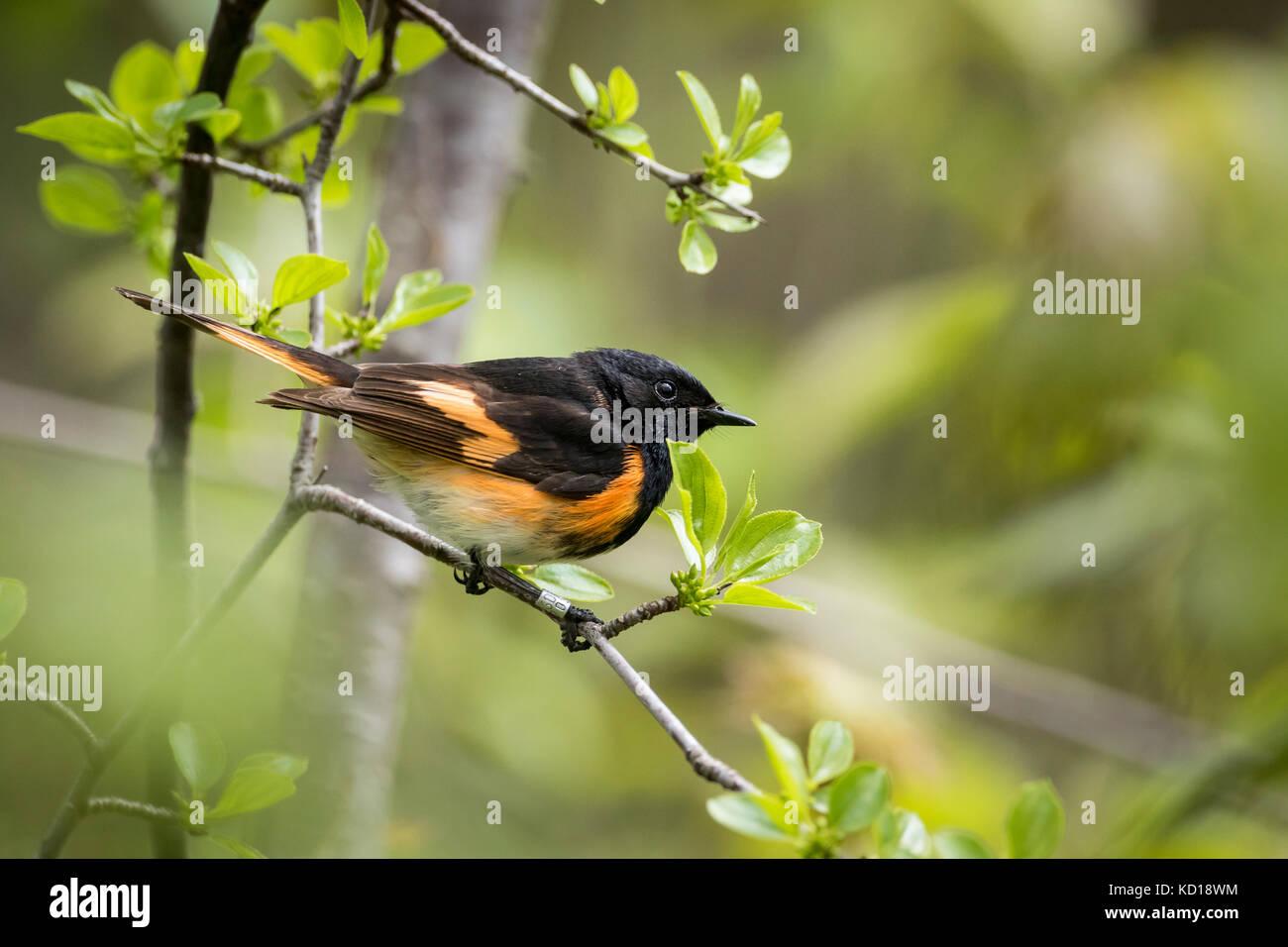 Male American Redstart (Setophaga ruticilla), Prince Edward Point National Wildlife Area, Ontario, Canada - Stock Image
